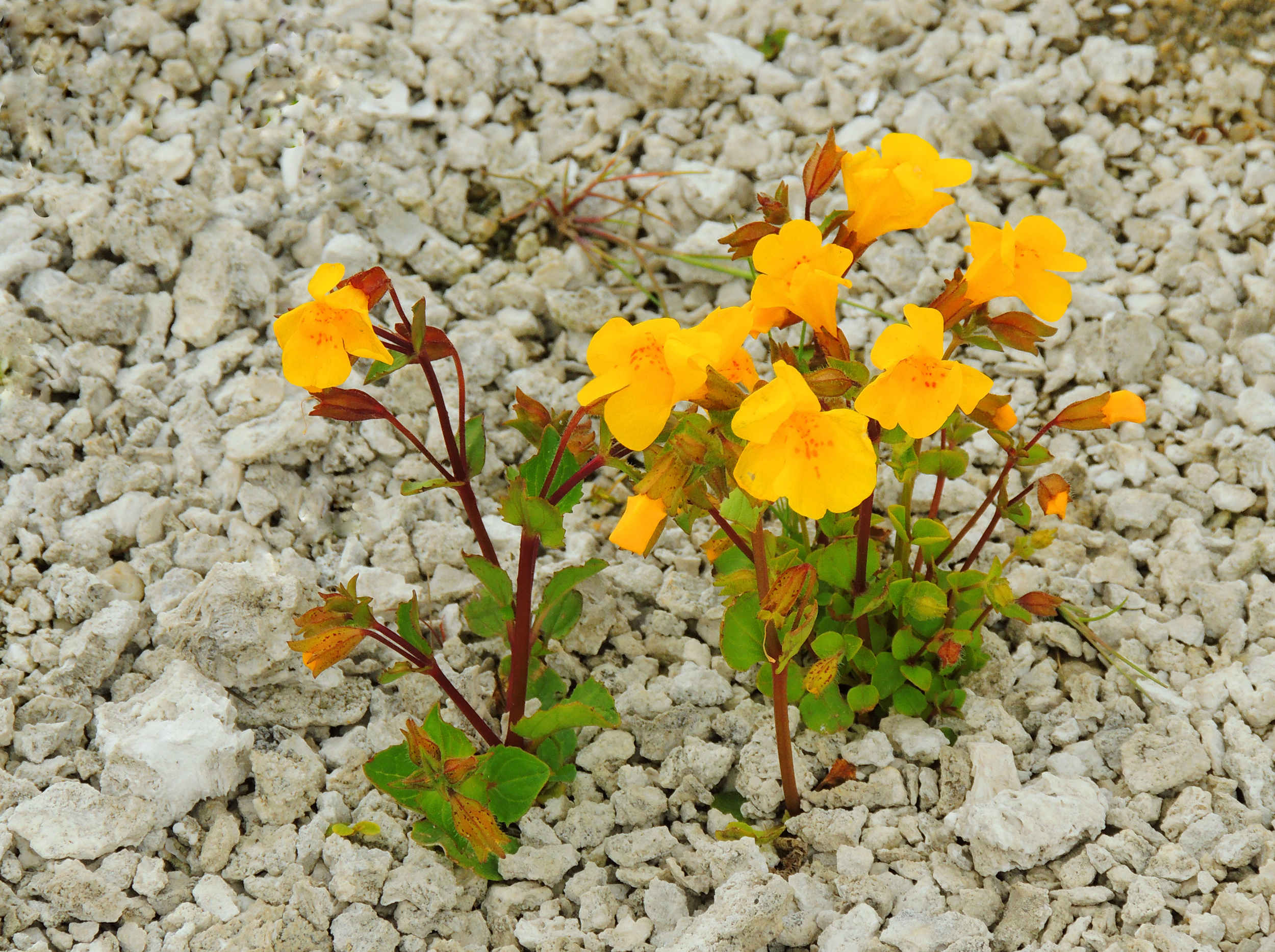 Mimulus guttatus (Seep monkeyflower).jpg