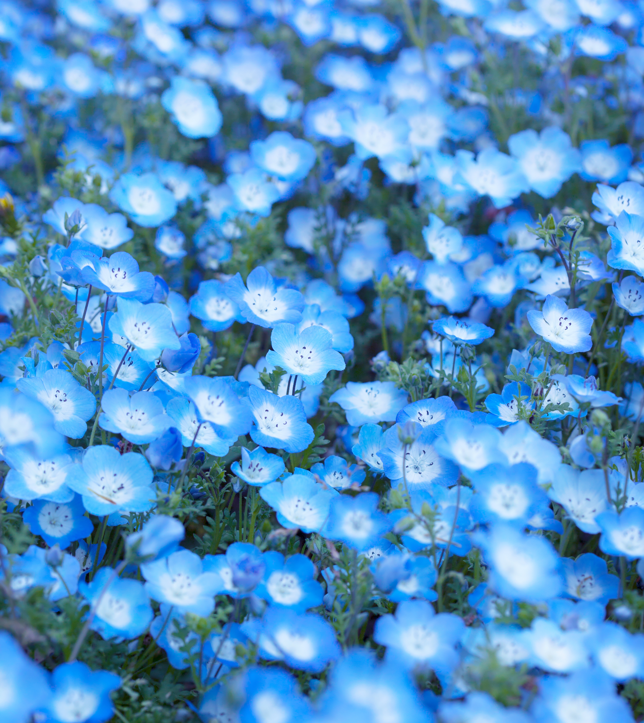 Baby blue eyes (Nemophila menziesii) (2).jpg