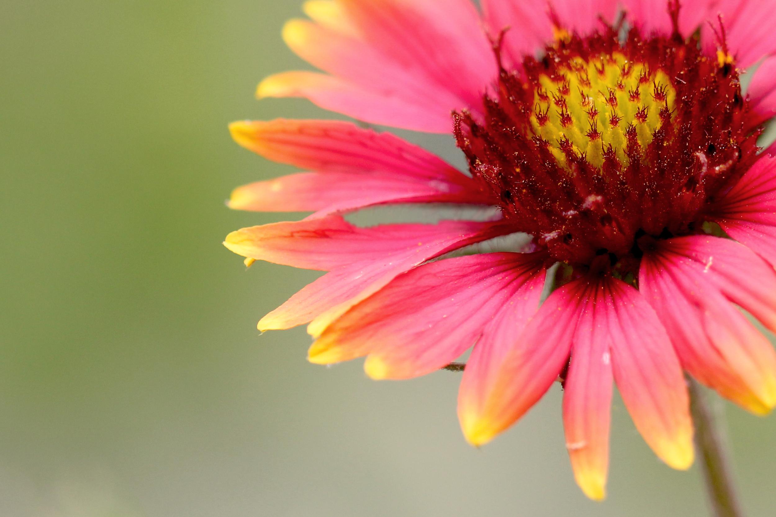Gaillardia pulchella (Firewheel) (3).jpg