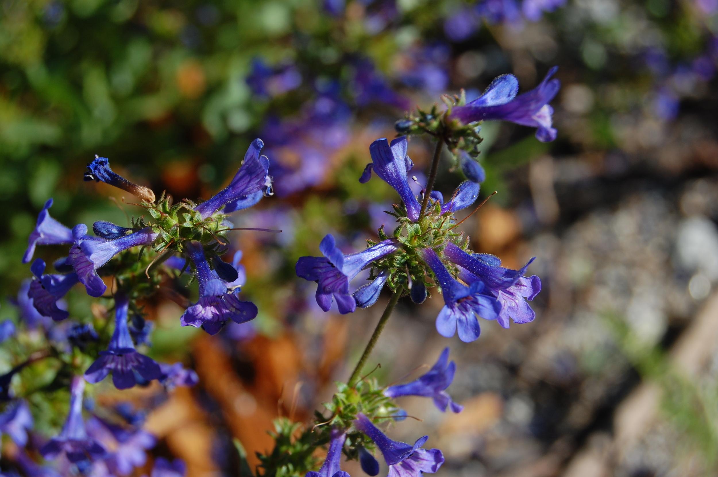 Penstemon rydbergii (Blue mountain penstemon).jpg