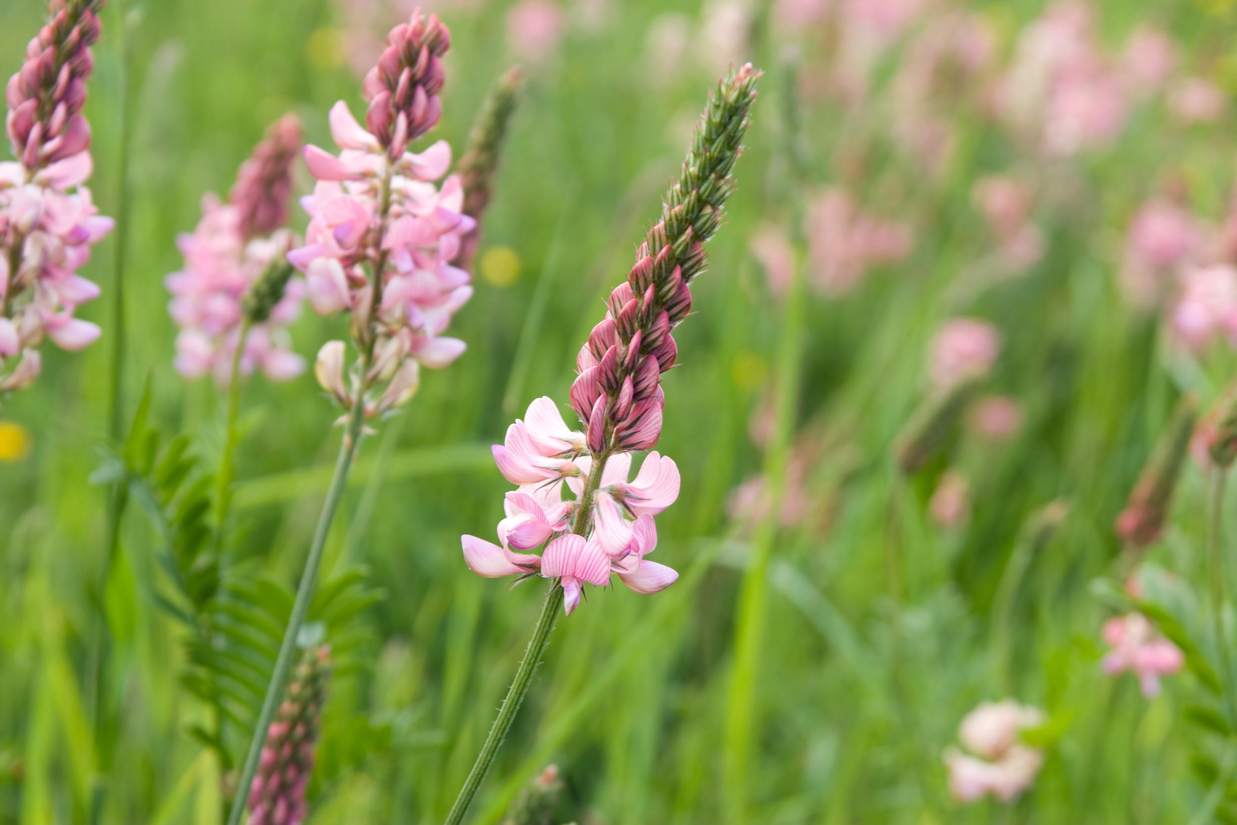 Onobrychis viciifolia (Sainfoin).jpg
