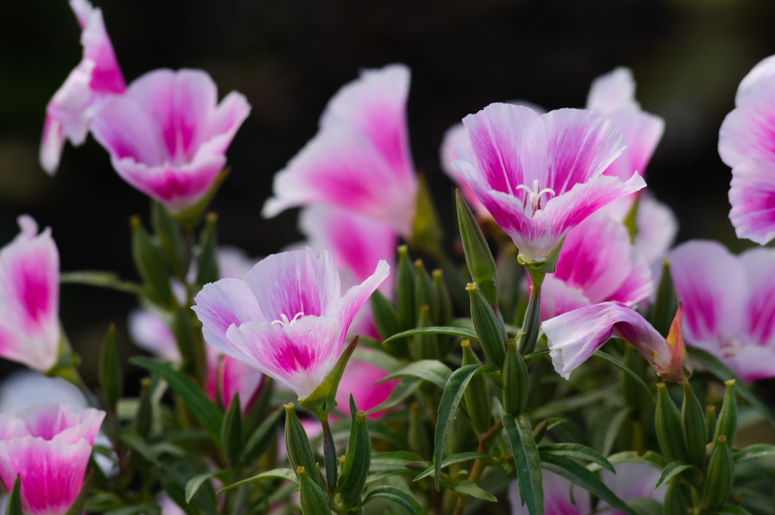 Farewell-to-spring (Clarkia amoena) (2).jpg