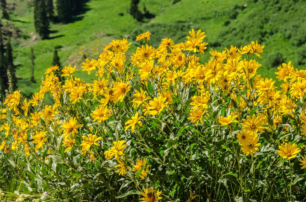 Oneflowered heliathela (Helianthela uniflora).jpg