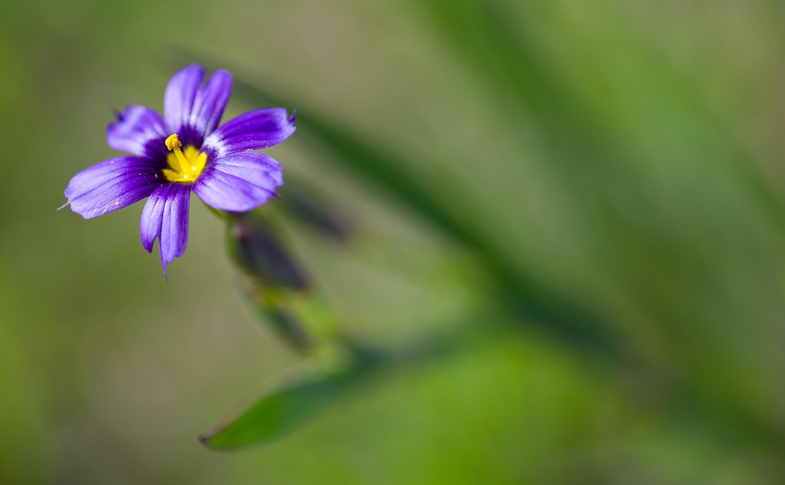 Blue-eyed grass (Sisyrinchium bellum) (2).jpg