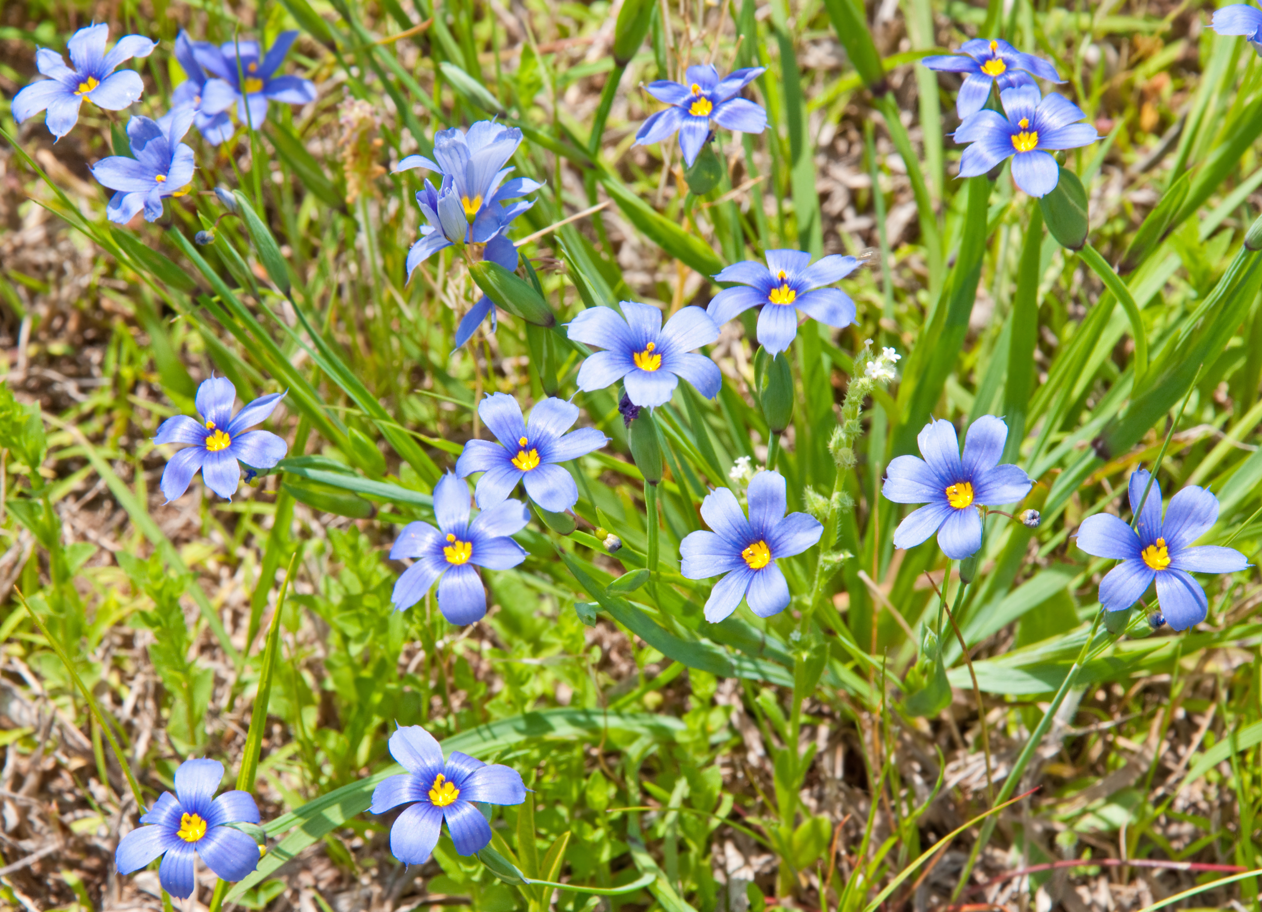 Blue-eyed grass (Sisyrinchium bellum) (3).jpg