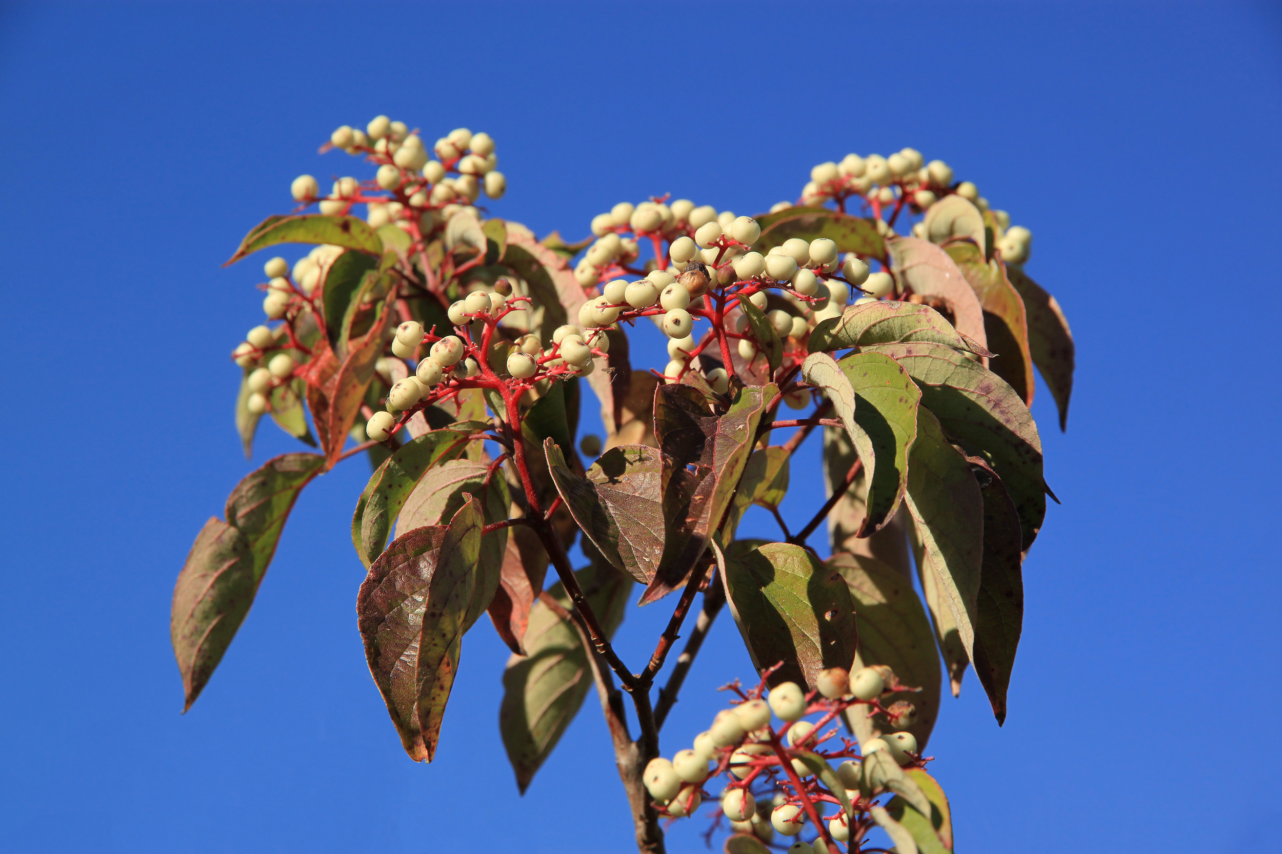 Cornus sericea (Red-osier dogwood).jpg