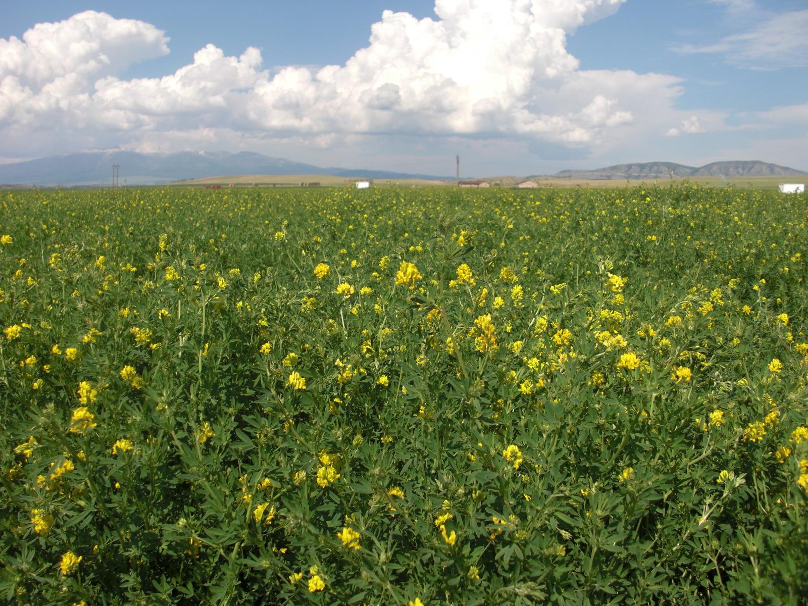 Don falcata alfalfa seed production field