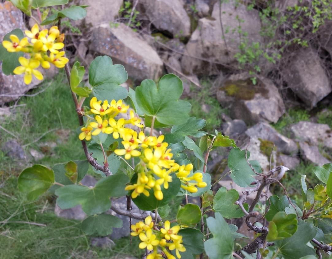 Golden currant (Ribes aureum) Palouse Falls 3.jpg