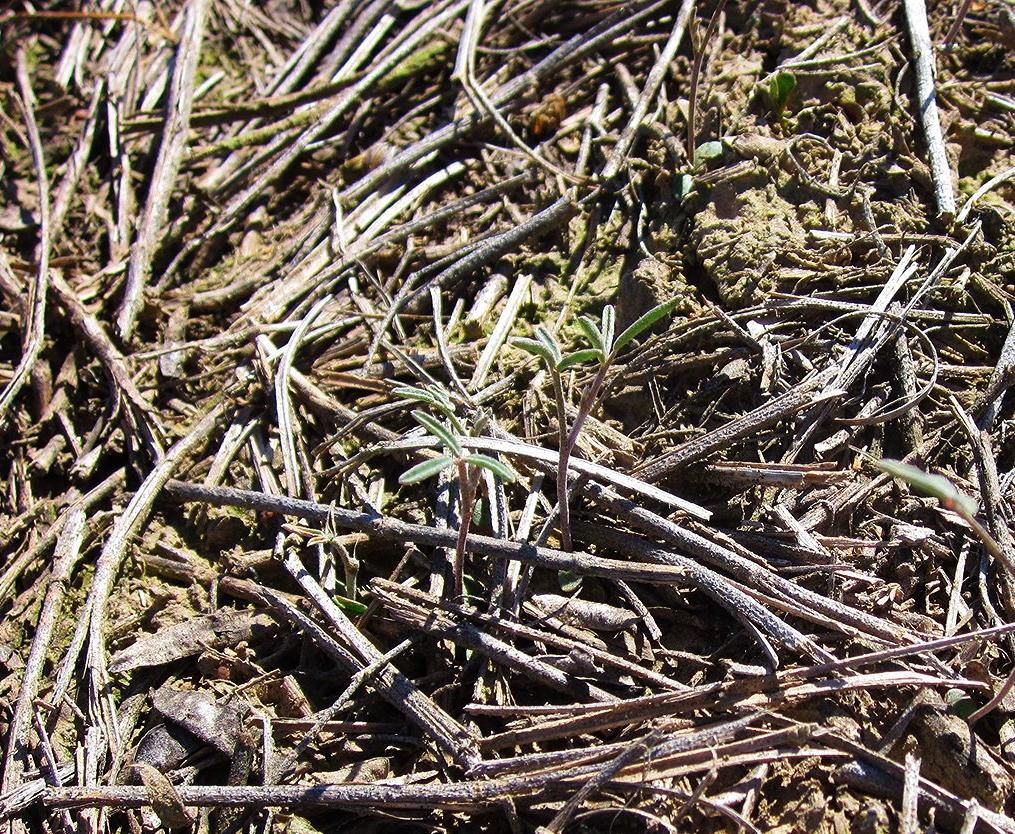 Basalt milkvetch seedling.JPG