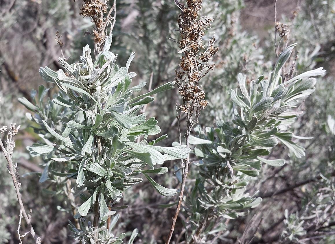 Basin big sagebrush (Artemisia tridentata ssp. tridentata) (4).jpg