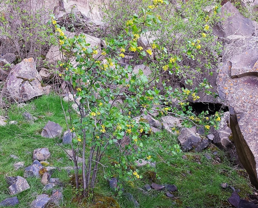 Golden currant (Ribes aureum) Palouse Falls 2.jpg