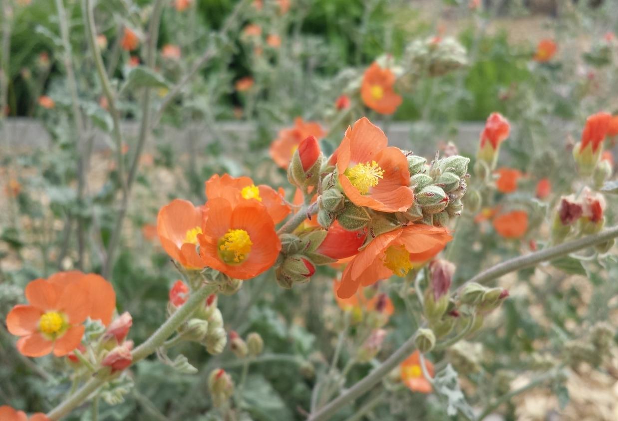 Sphaeralcea munroana (Munro's globemallow).jpg