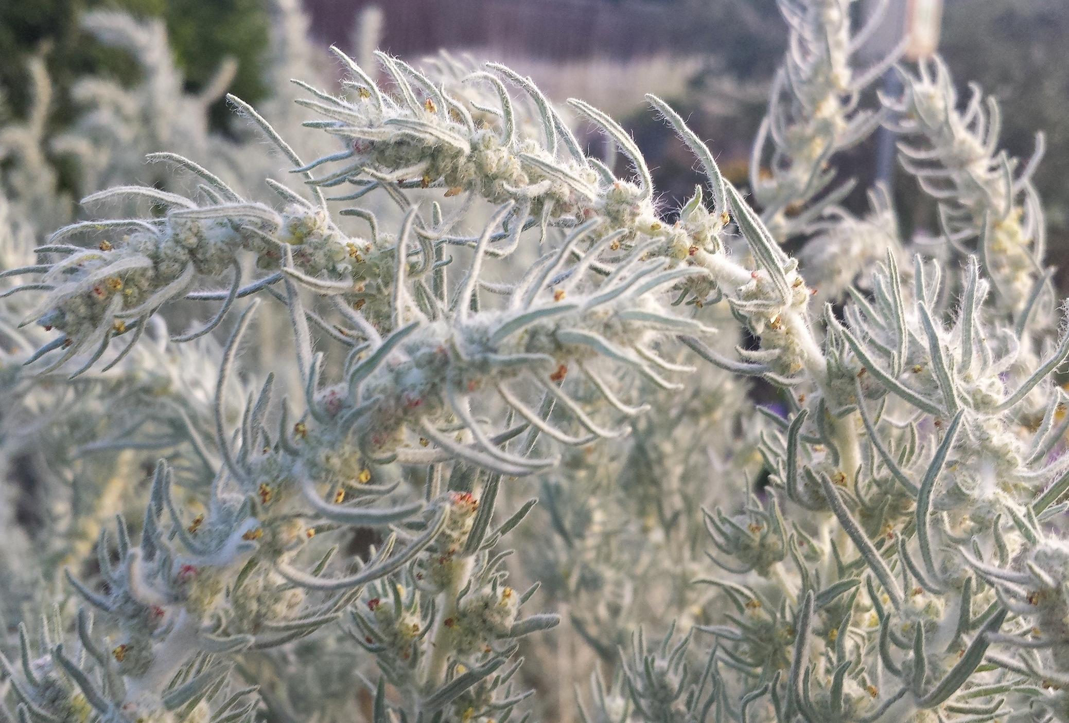 Krascheninnikovia lanata (Winterfat) 3.jpg