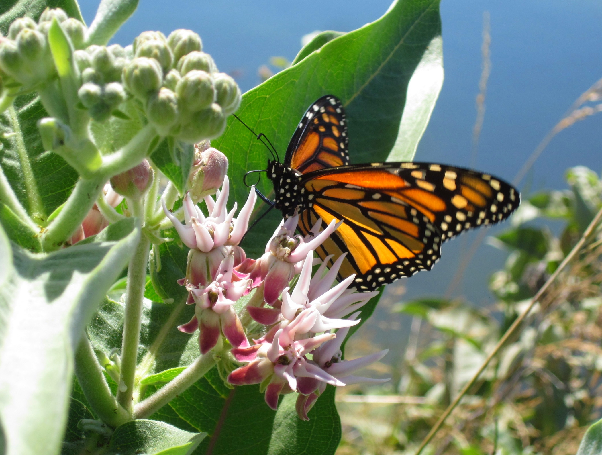 Monarch on Showy milkweed (Unit 109 Canal 7-20-15).jpg