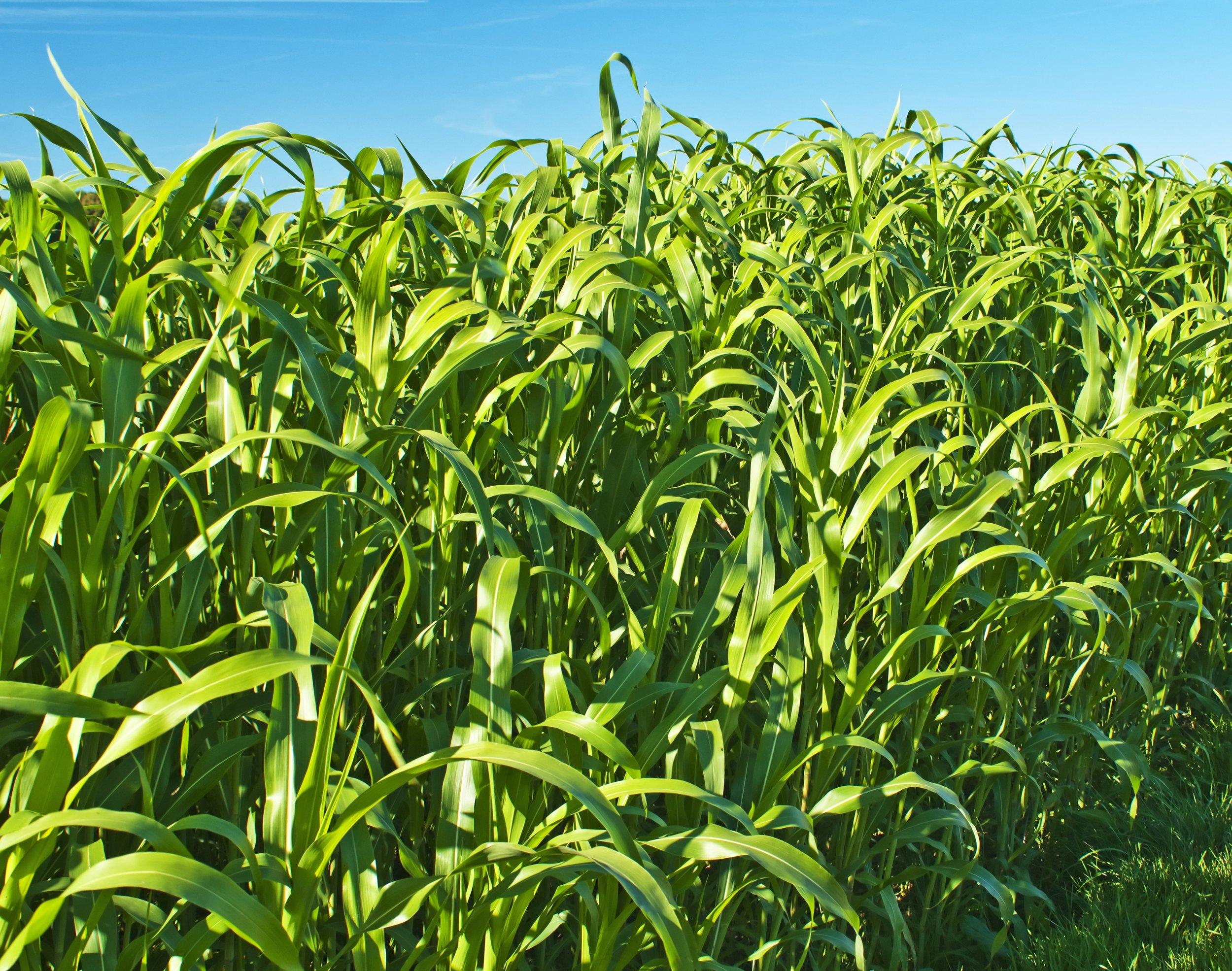 Sorghum Sudangrass.jpg