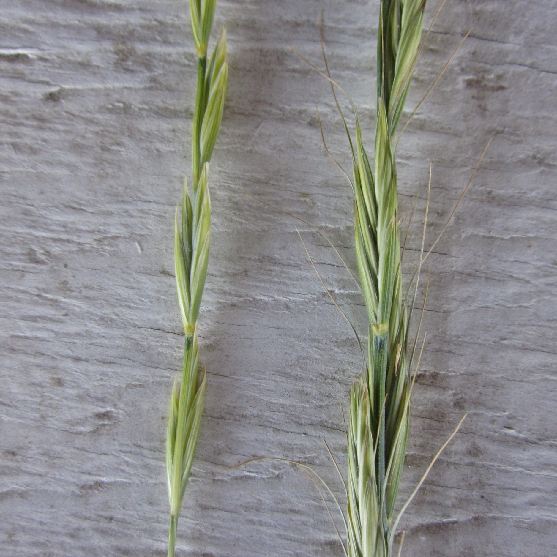 Beardless bluebunch wheatgrass (left) without the long awn typical of standard Bluebunch wheatgrass (right).