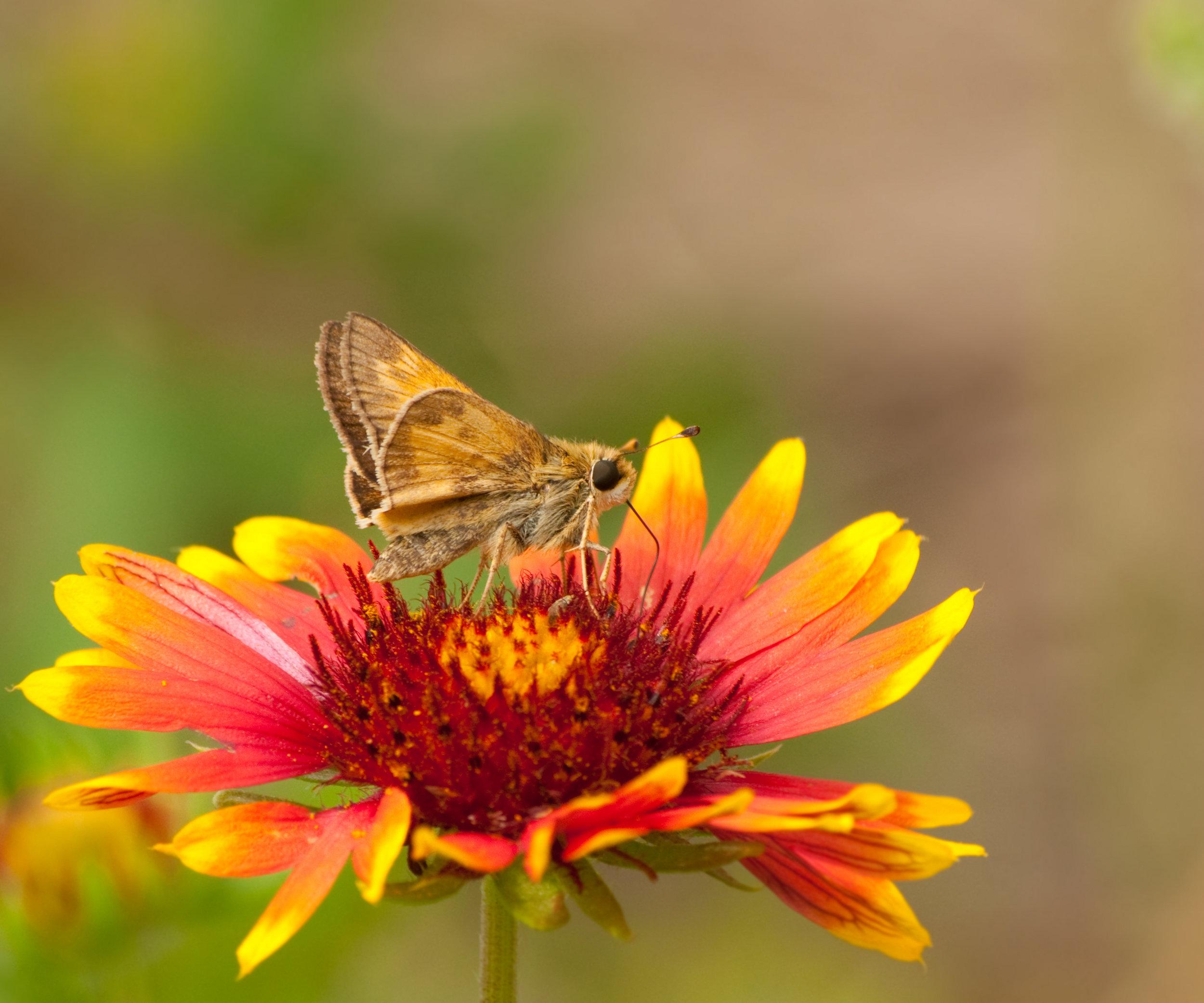 Blanket Flower (2).jpg
