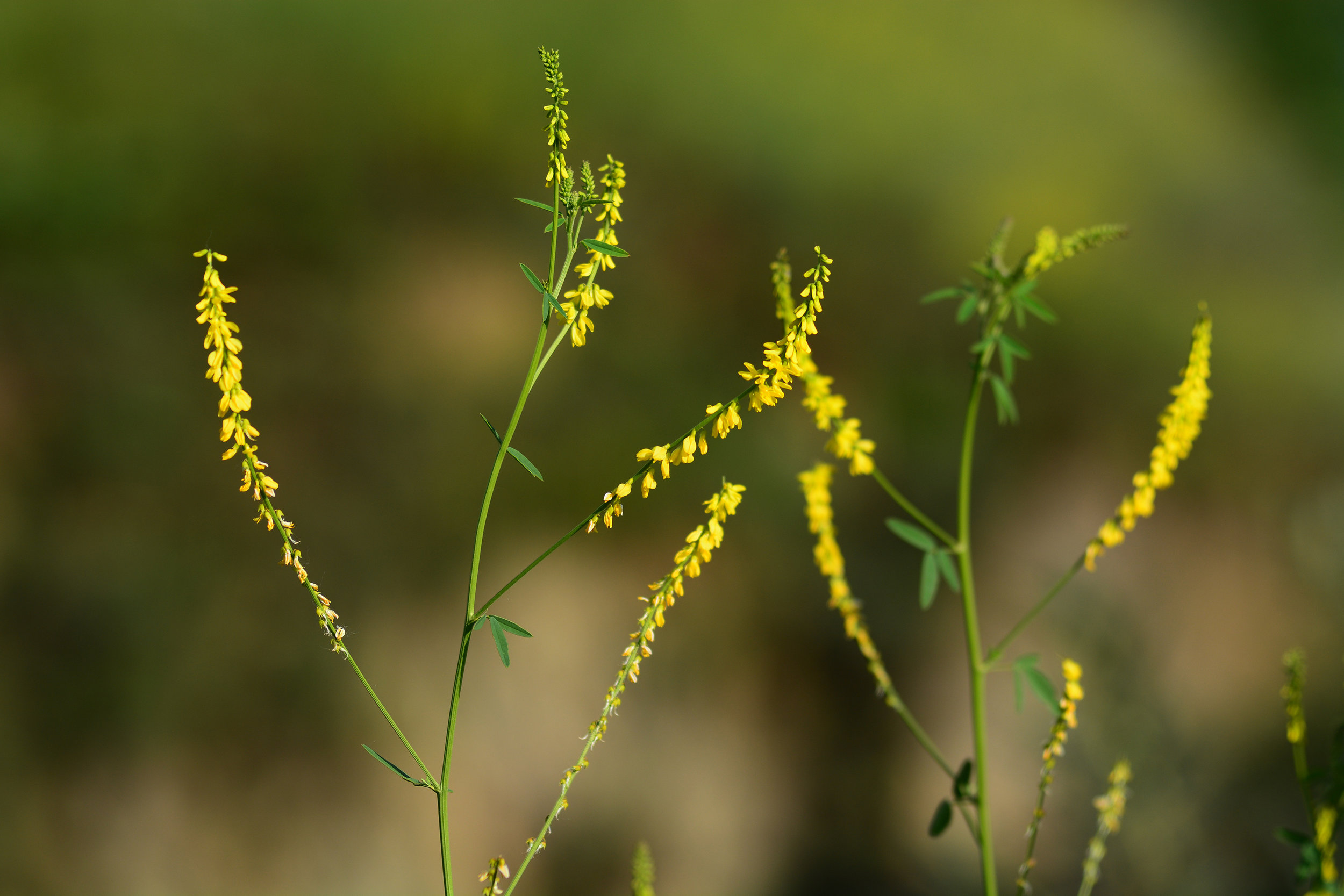 Yellow sweetclover (Melilotus officinalis)