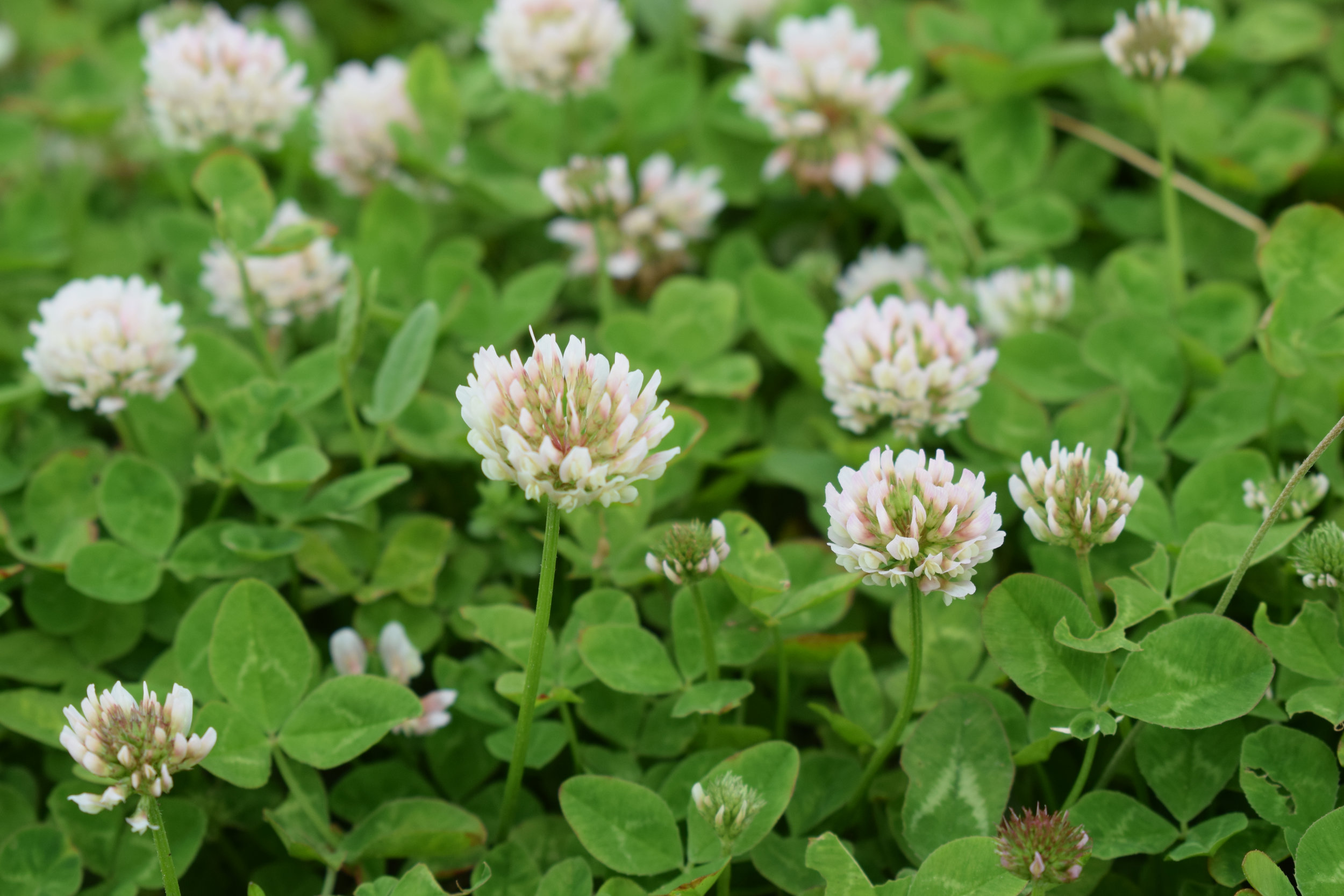 Trifolium hybridum (Alsike clover) 2.jpg