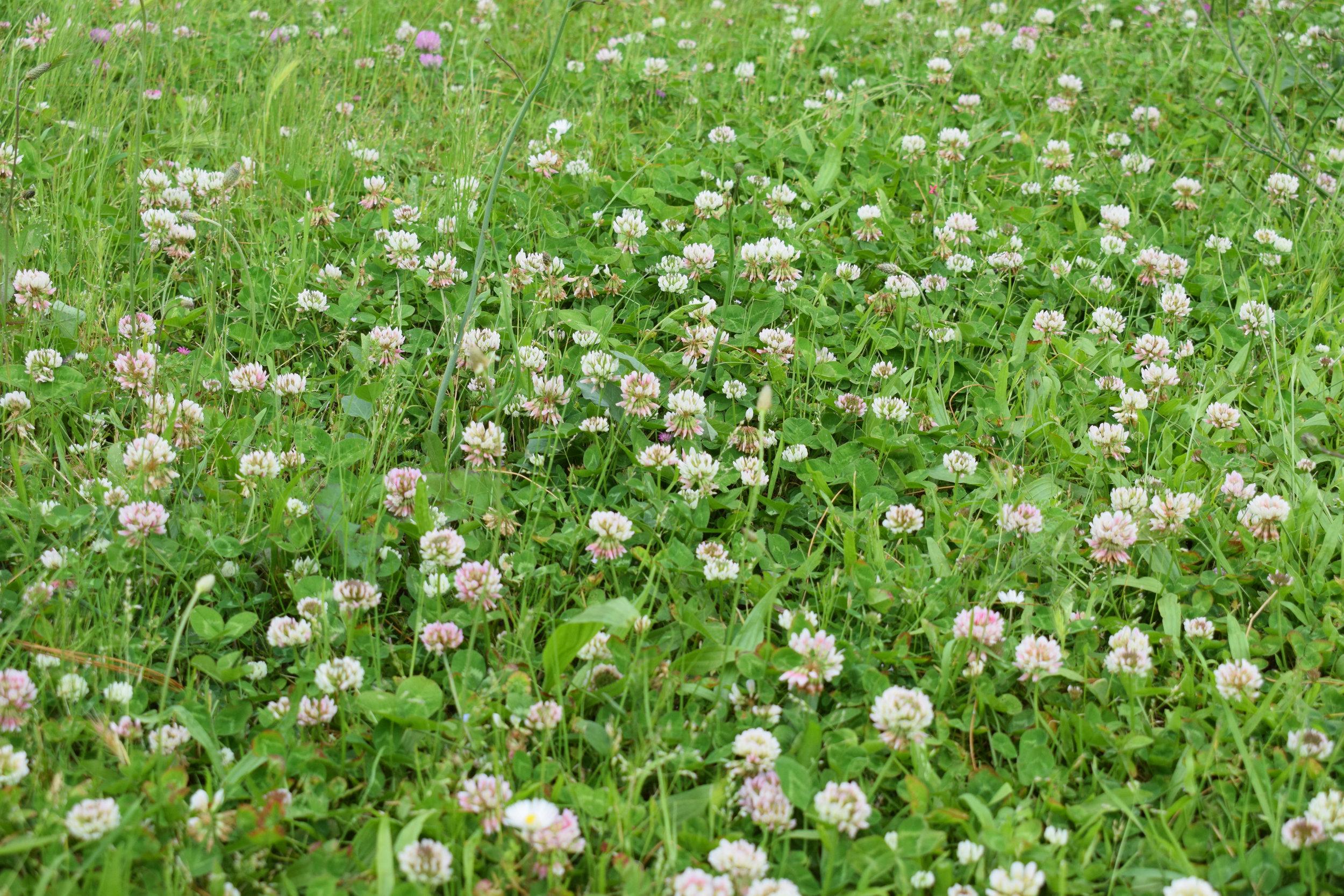 Trifolium hybridum (Alsike clover) 3.jpg