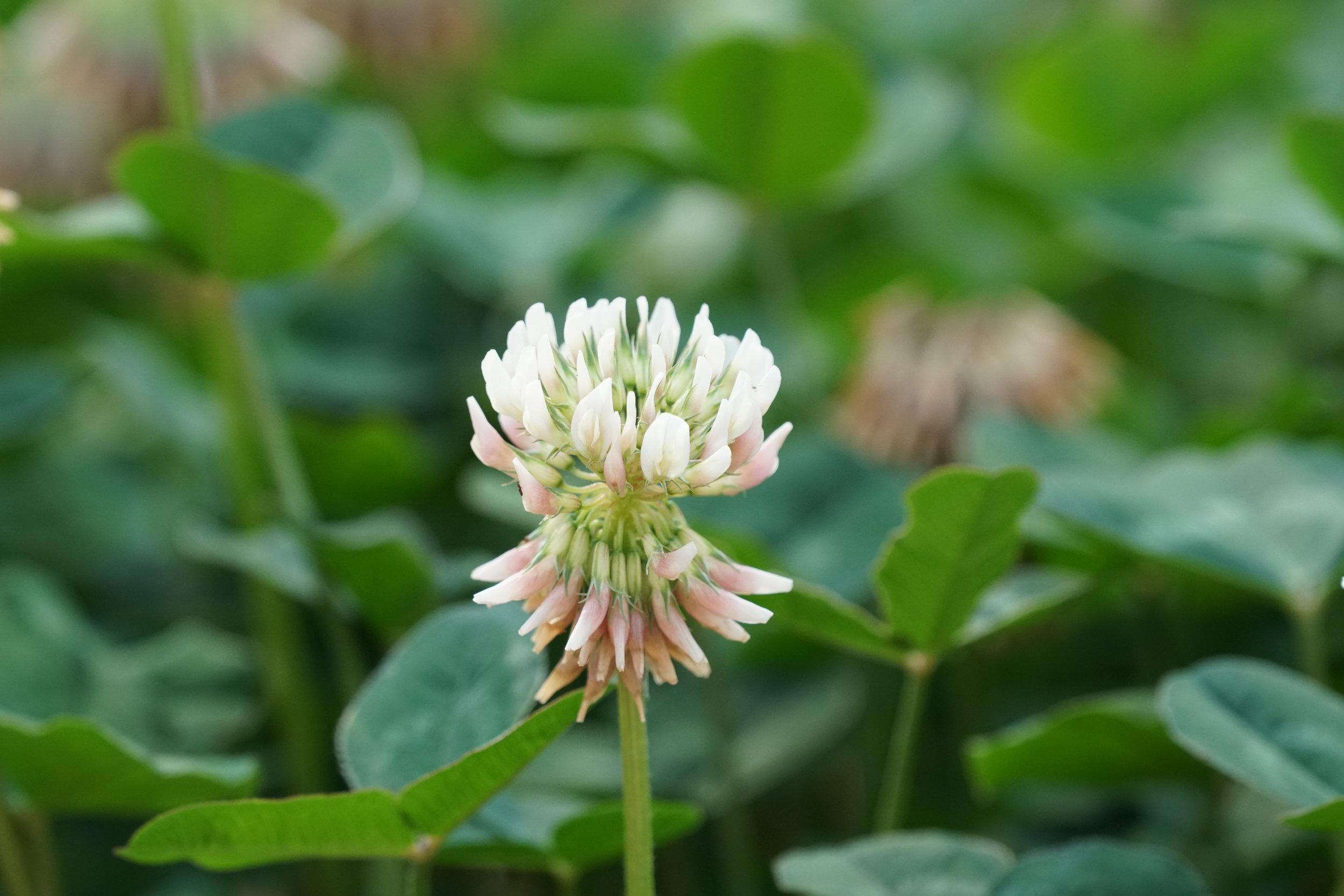 Ladino clover