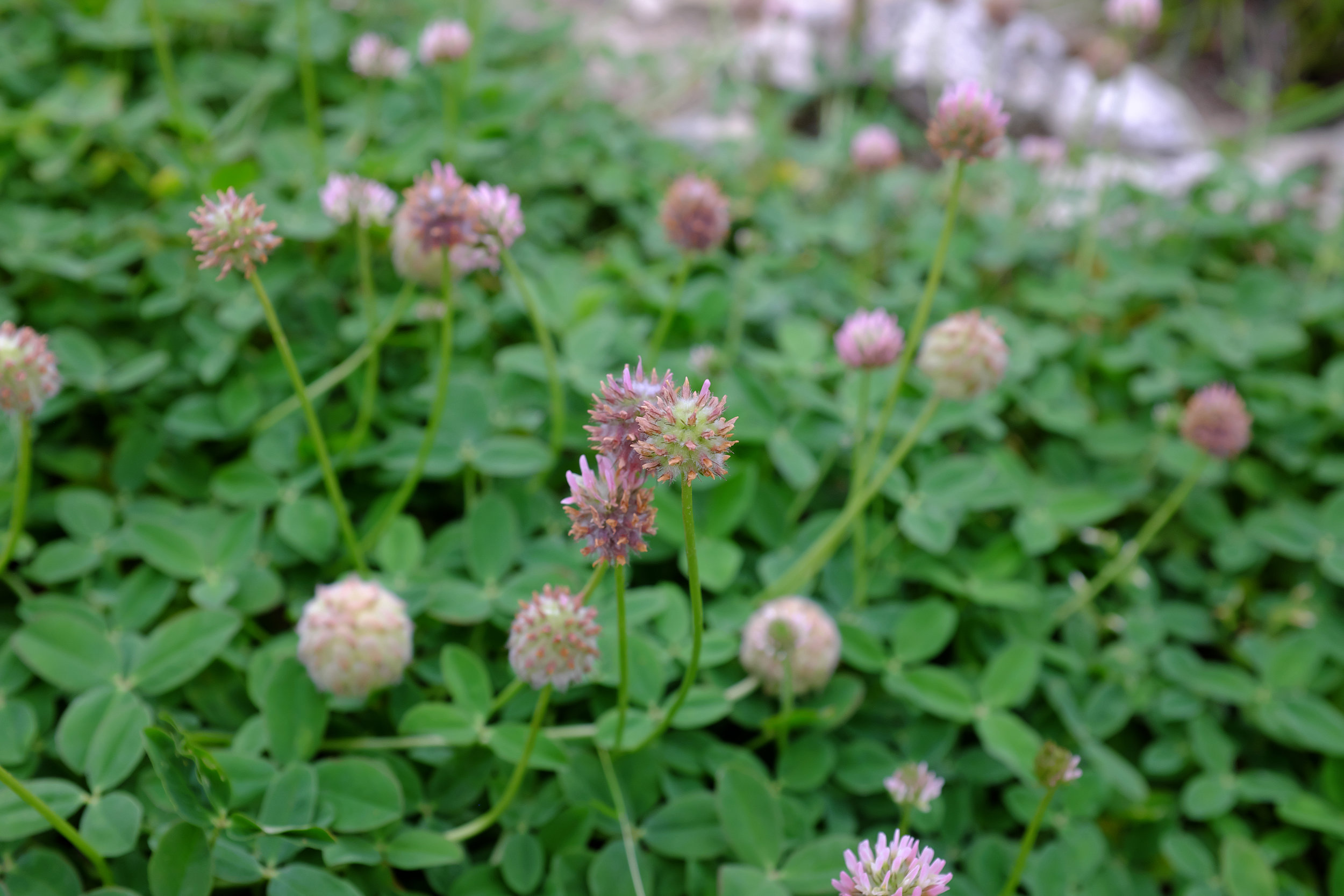 Trifolium fragiferum (Strawberry clover).jpg