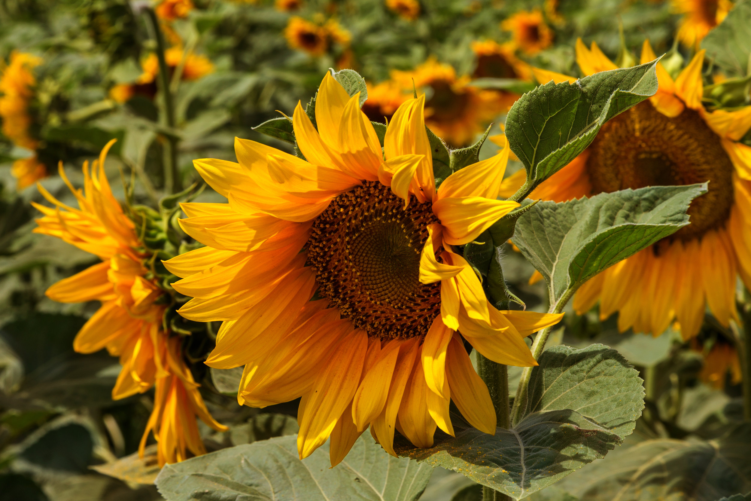 Helianthus annuus (Common sunflower) 1.jpg