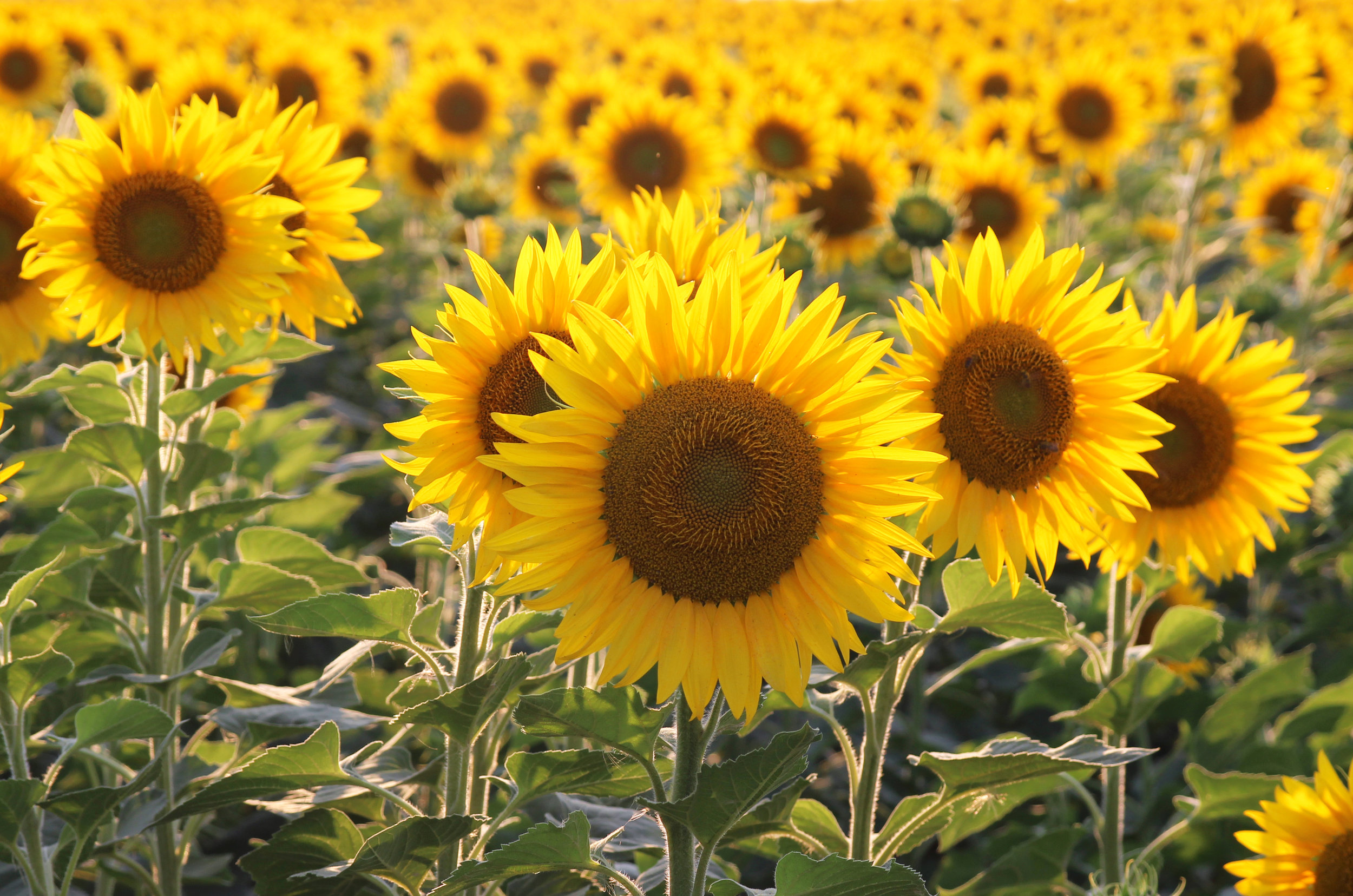 Helianthus annuus (Common sunflower) 2.jpg