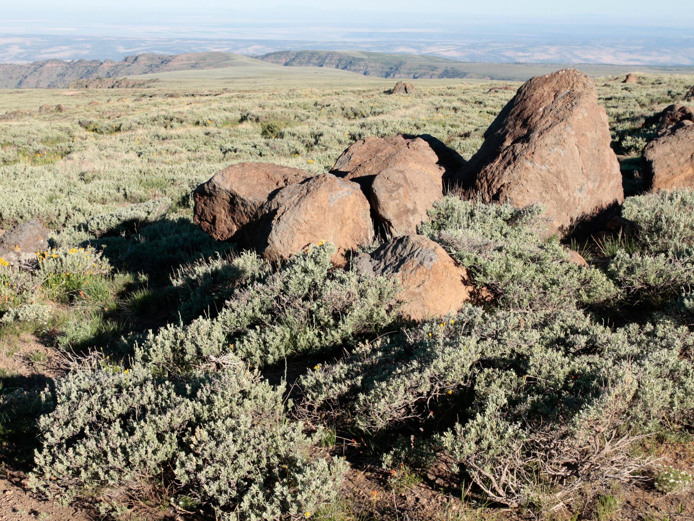 Artemisia arbuscula (Low sage) 1.jpg