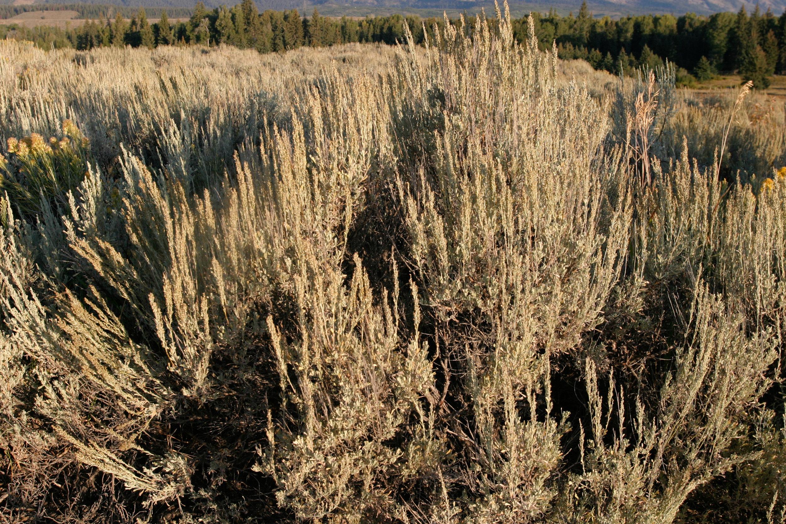 Artemistia tridentata ssp. wyomingensis (Wyoming big sagebrush) 2.jpg
