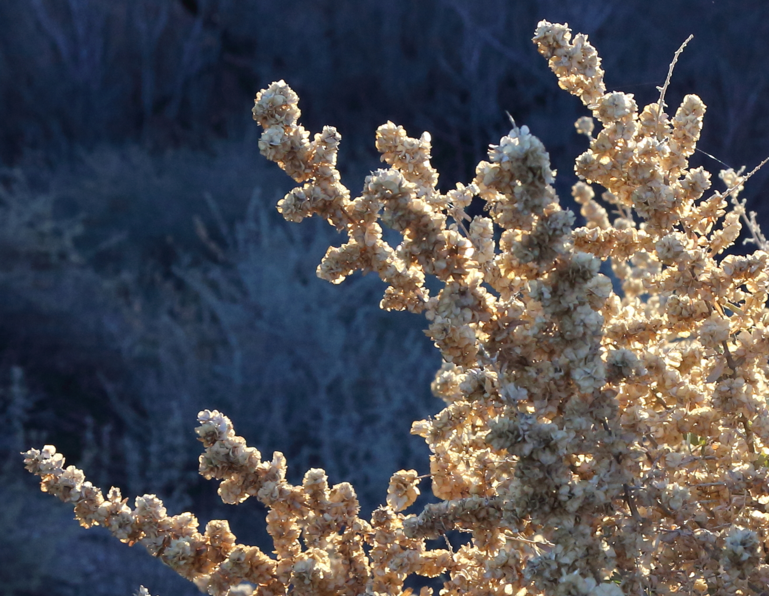 Atriplex canescens (Fourwing saltbush) 3.jpg