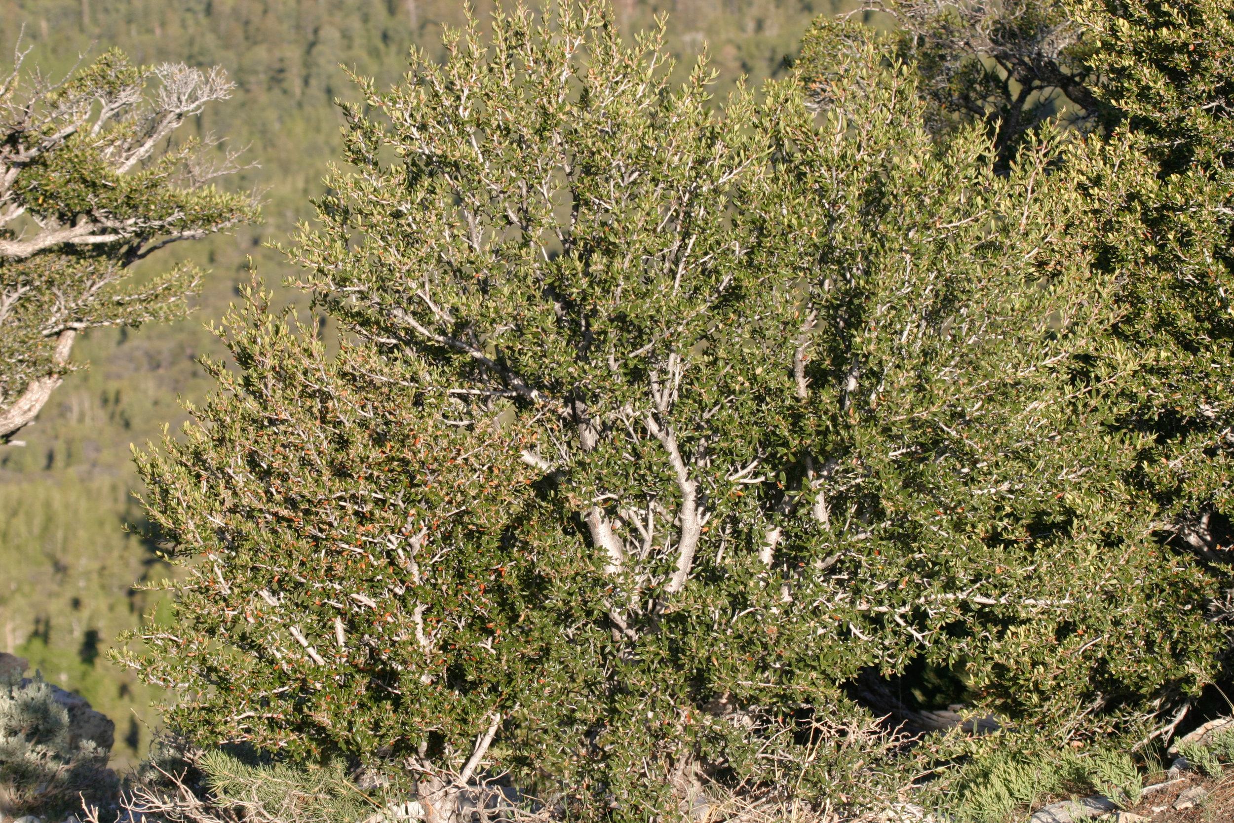 Cercocarpus ledifolius (Curl-leaf mountain mahogany) 2.jpg