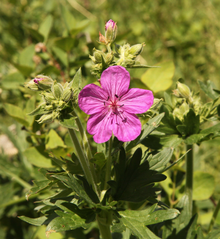 Wild geranium (Geranium viscosissimum) 3.jpg