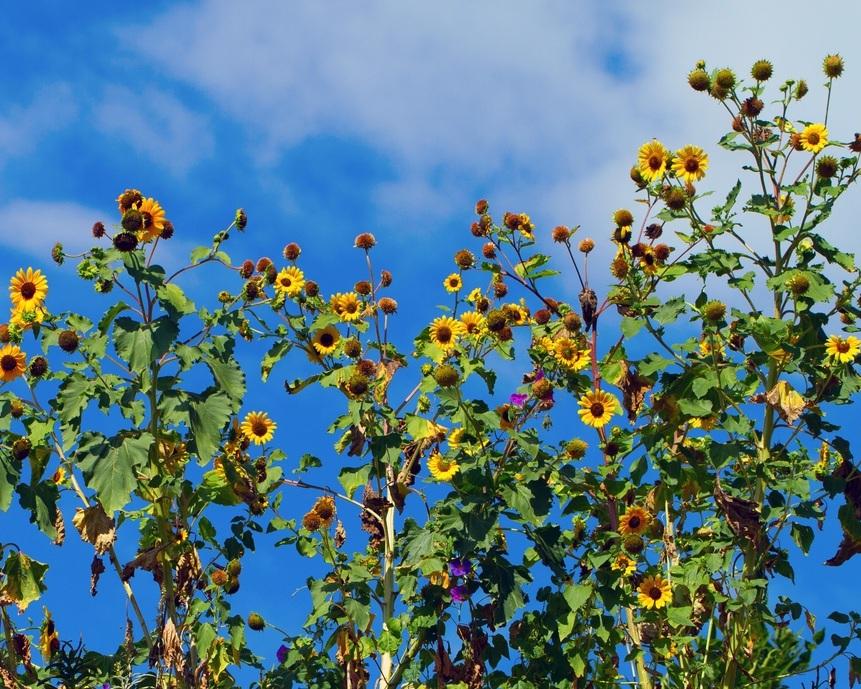 Annual sunflower (Helianthus annuus).jpg