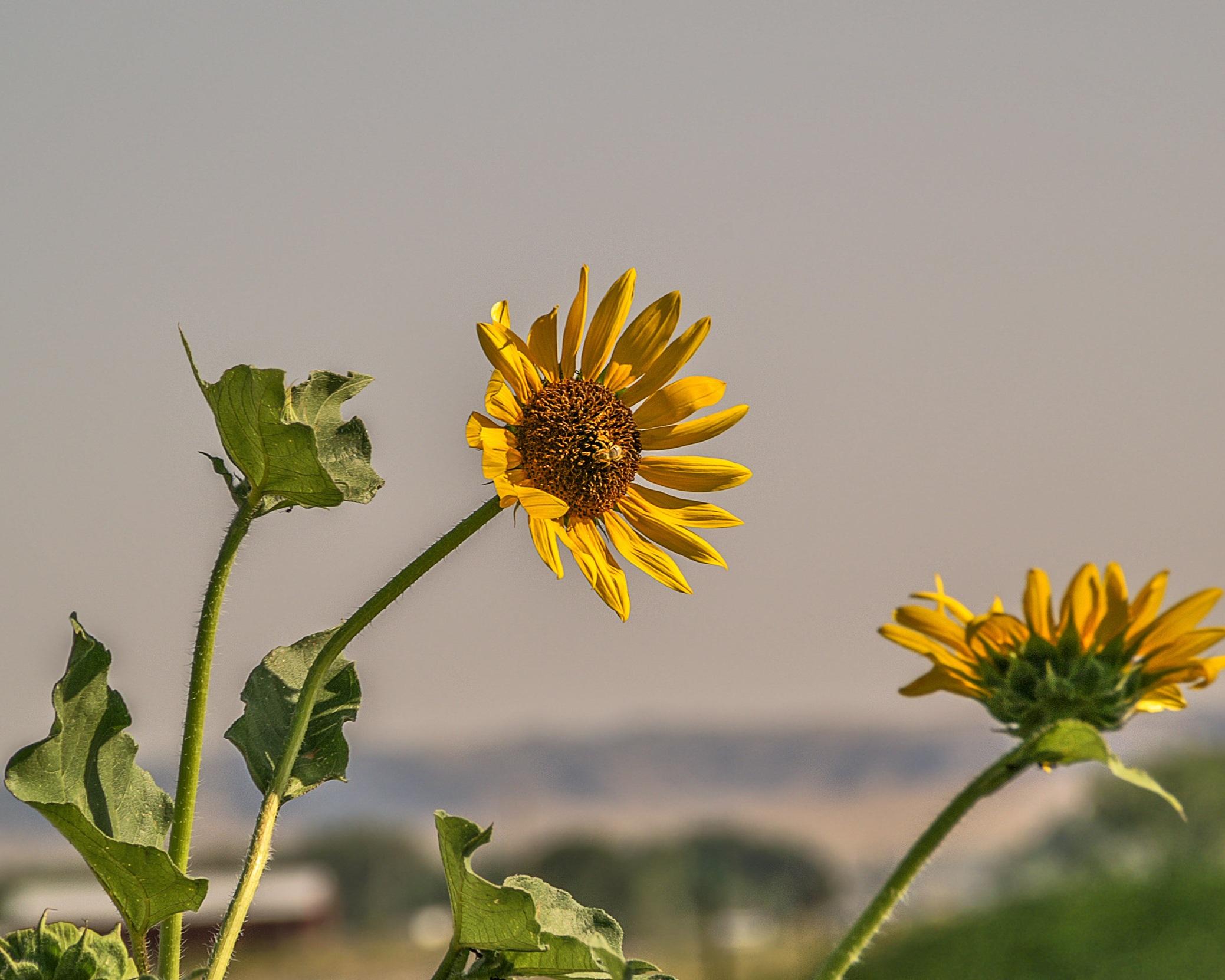Annual sunflower (Helianthus annuus) 4.jpg