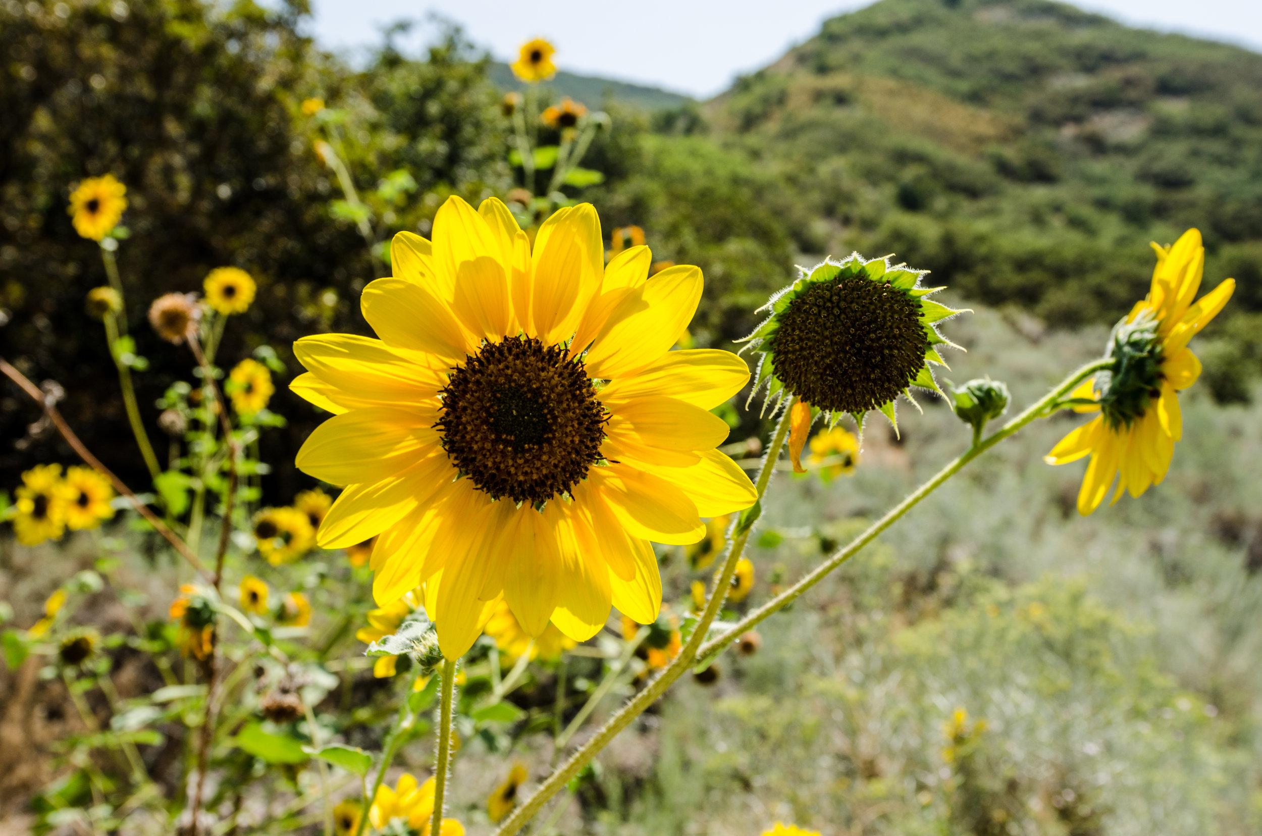Annual sunflower (Helianthus annuus) 3.jpg