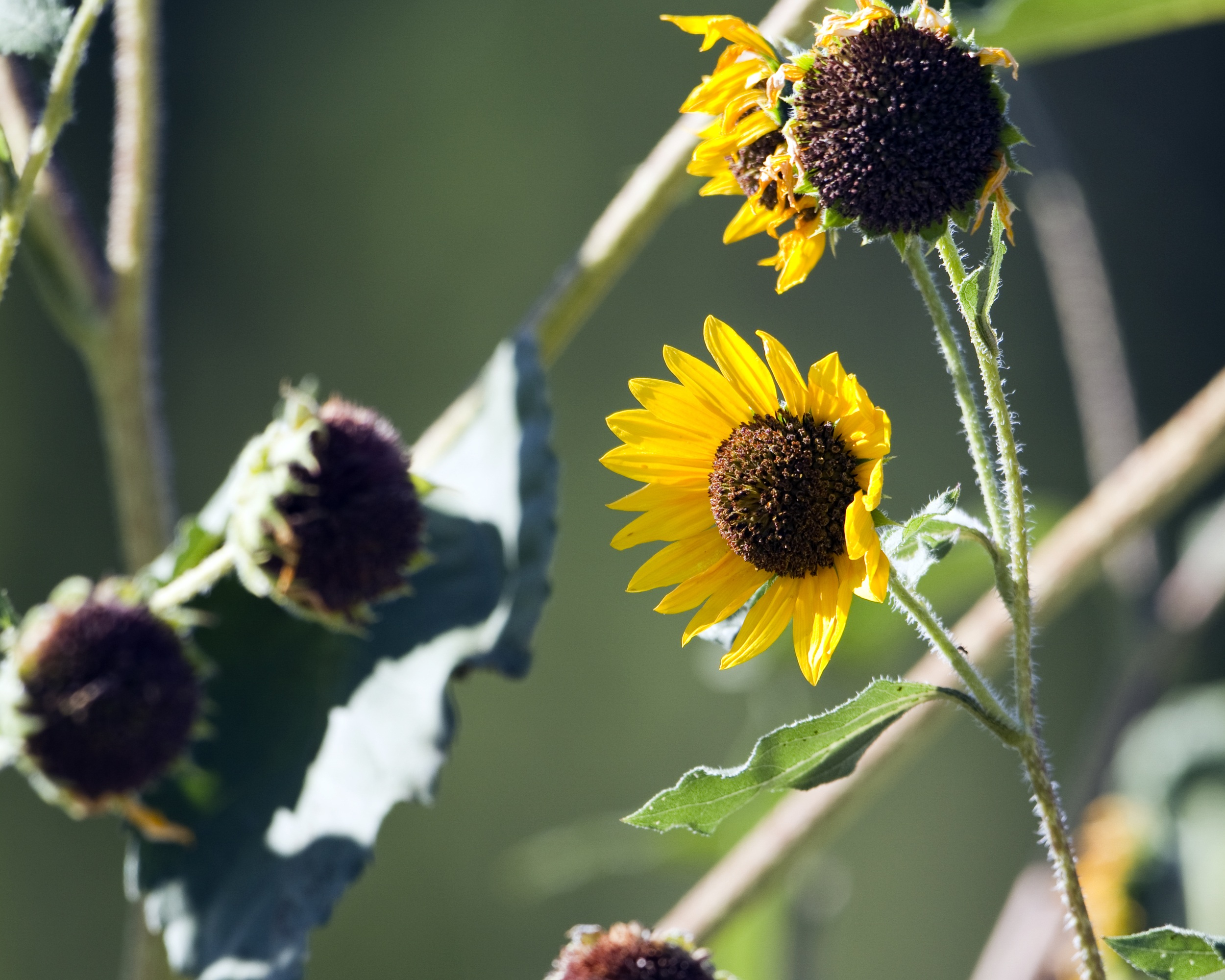 Annual sunflower (Helianthus annuus) (2).jpg
