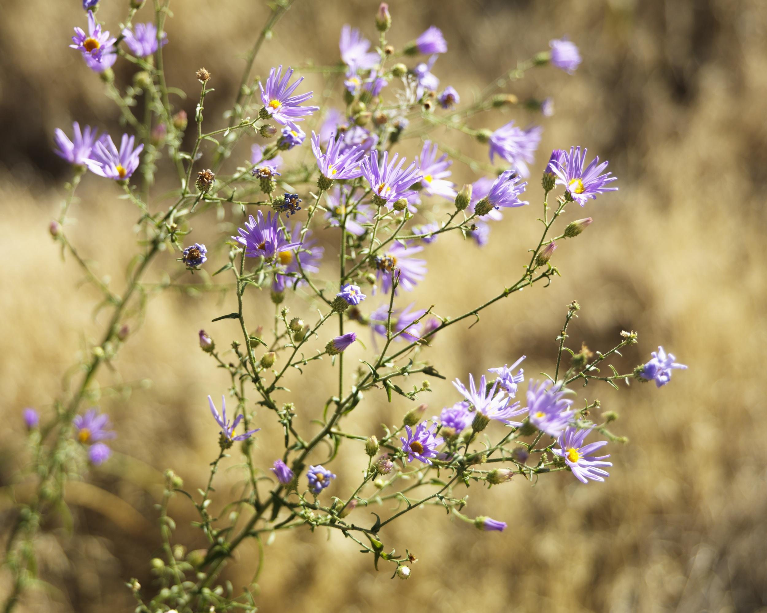 Blueleaf aster (Aster glaucodes).jpg