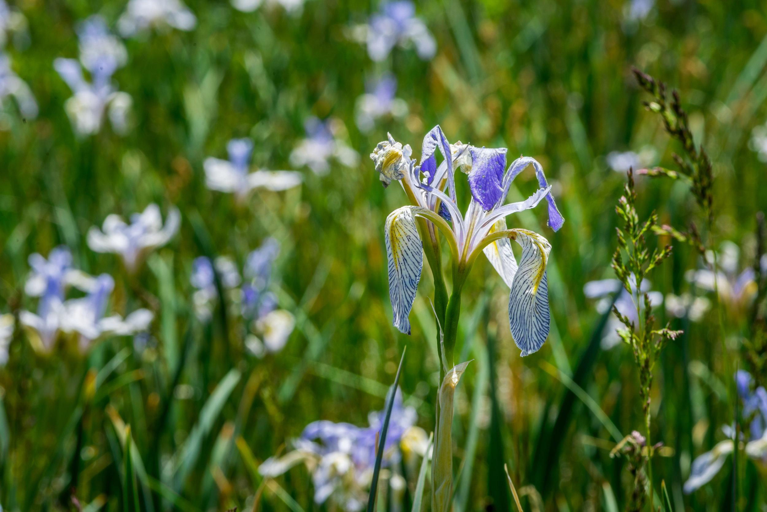 Iris missouriensis (Rocky Mountain iris) 1.jpg