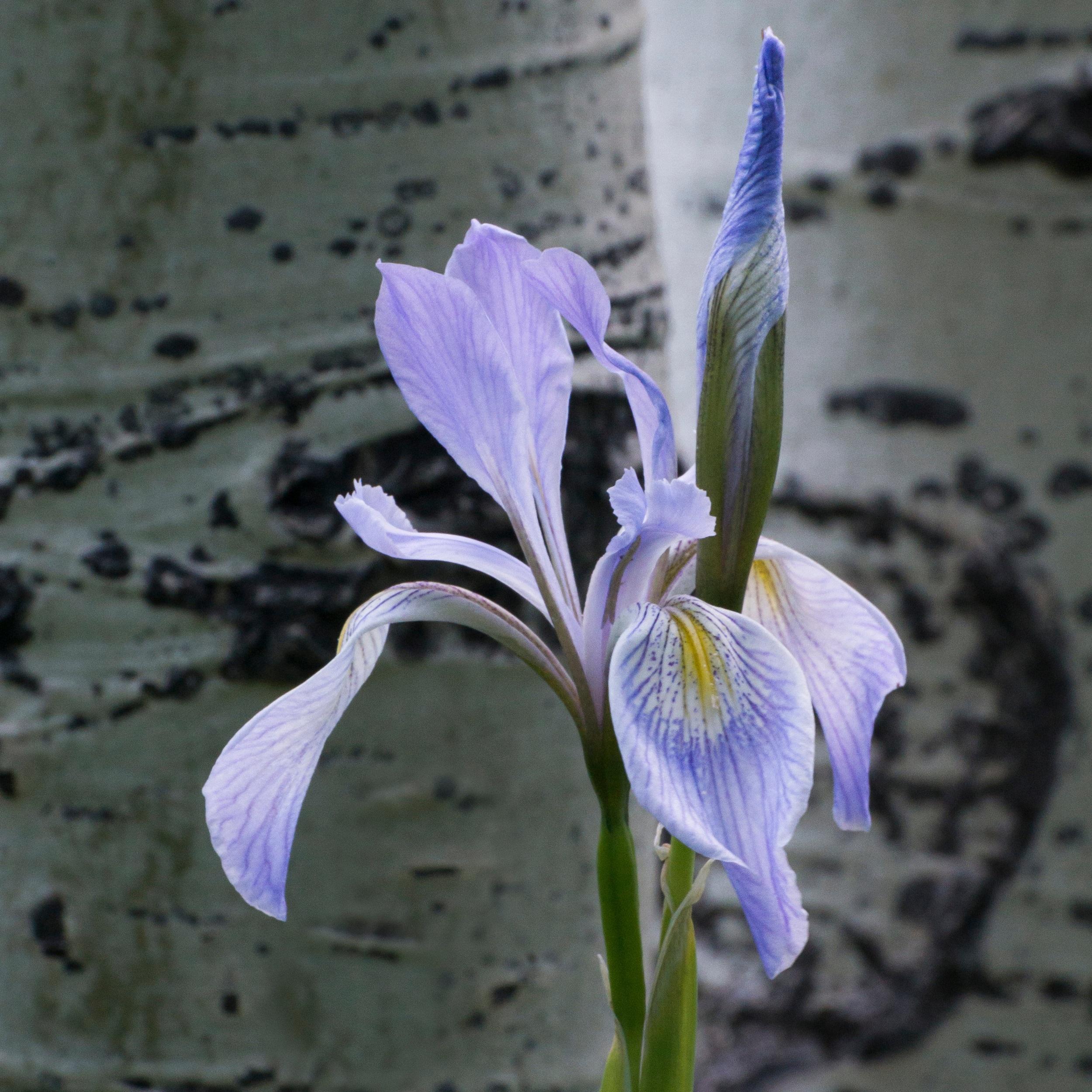 Iris+missouriensis+%28Rocky+Mountain+iris%29+2.jpg