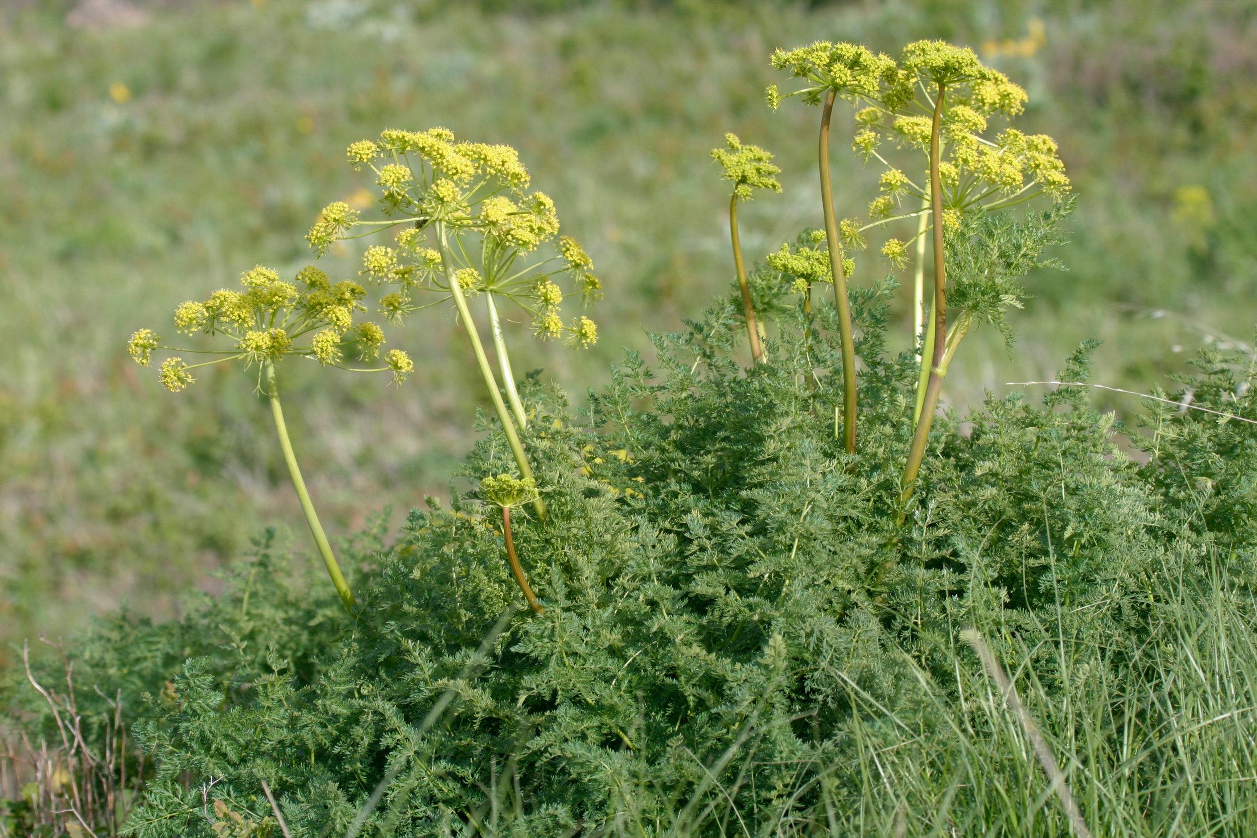 Lomatium grayi (Gray's biscuitroot) 1.jpg