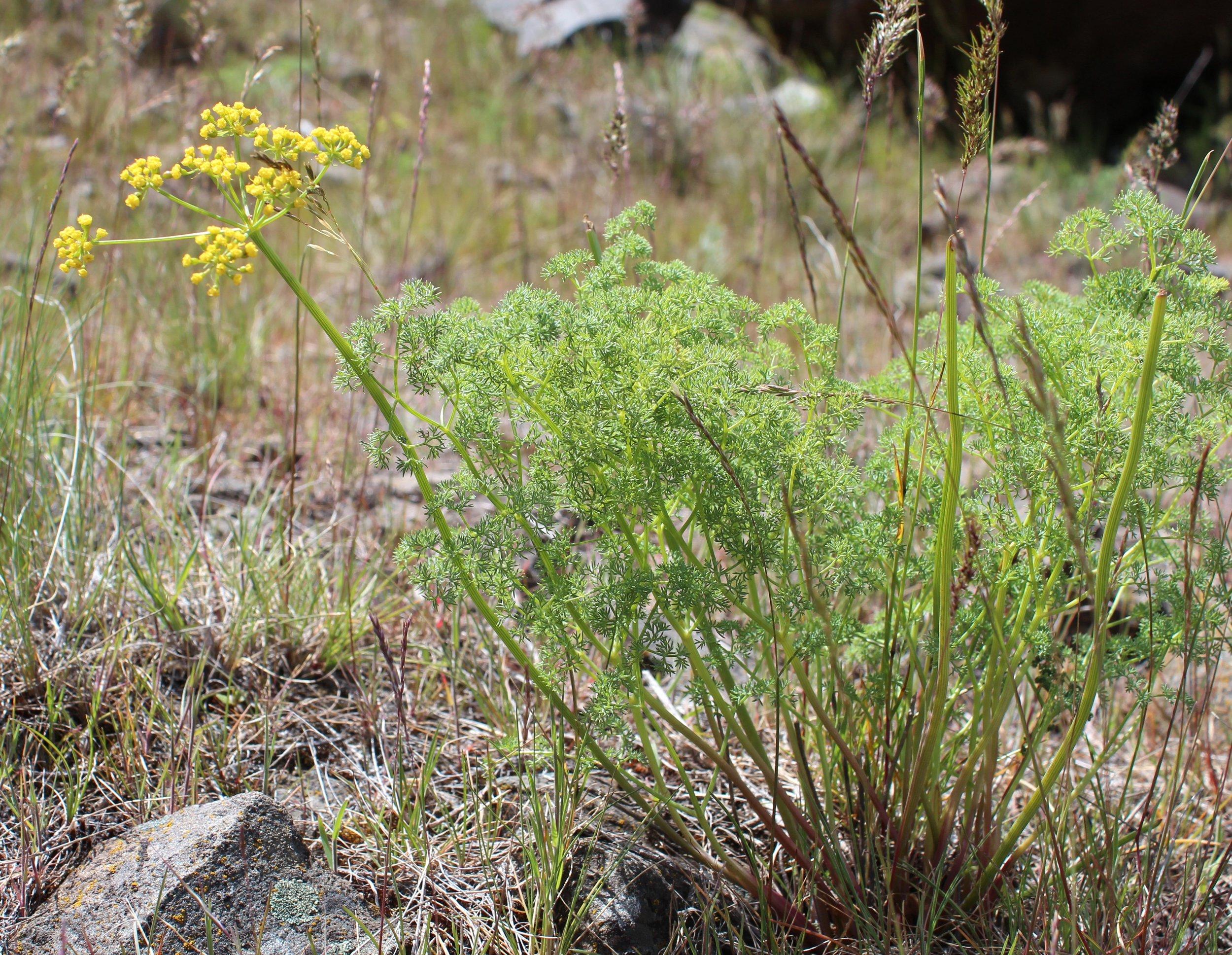 Lomatium grayi (Gray's biscuitroot) 2.jpg