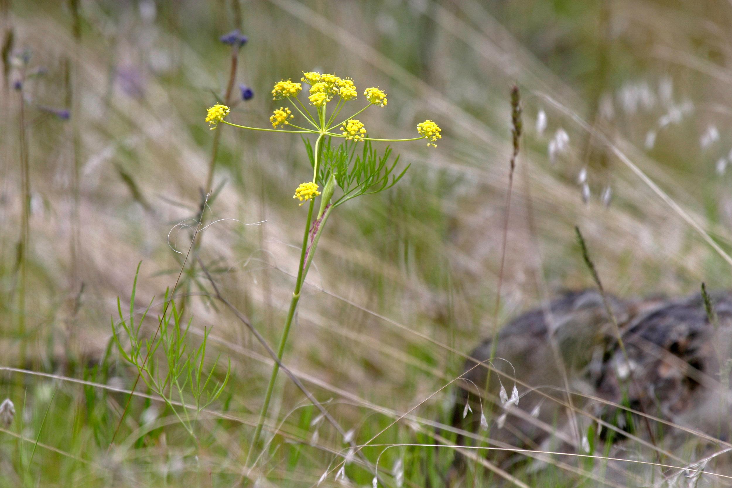 Lomatium grayi (Gray's biscuitroot) 3.jpg