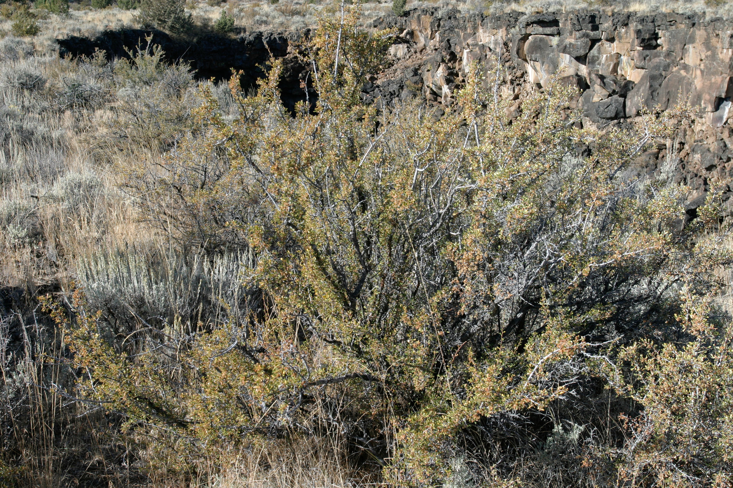 Purshia tridentata (Antelope bitterbrush) 3.jpg