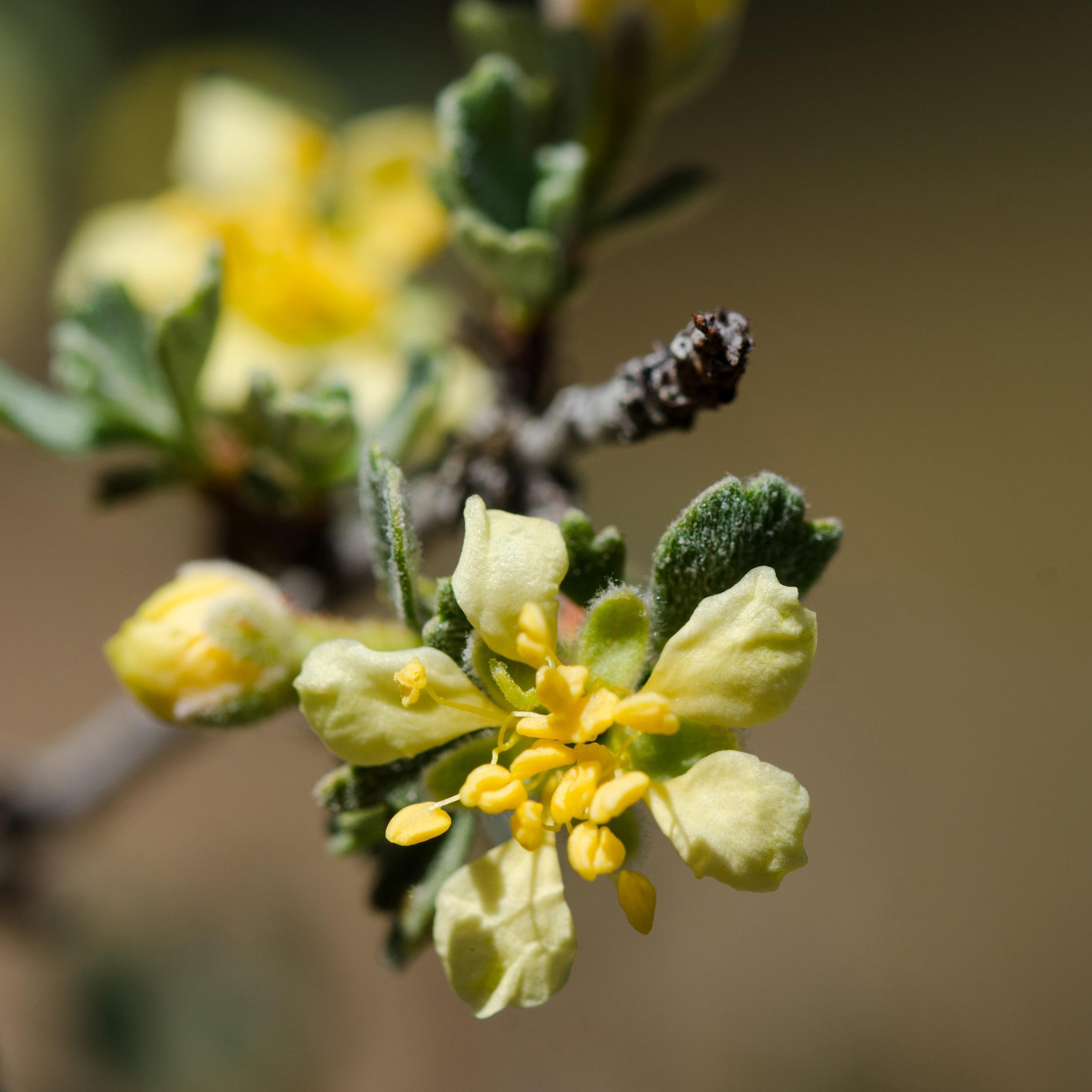 Purshia tridentata (Antelope bitterbrush) 2.jpg