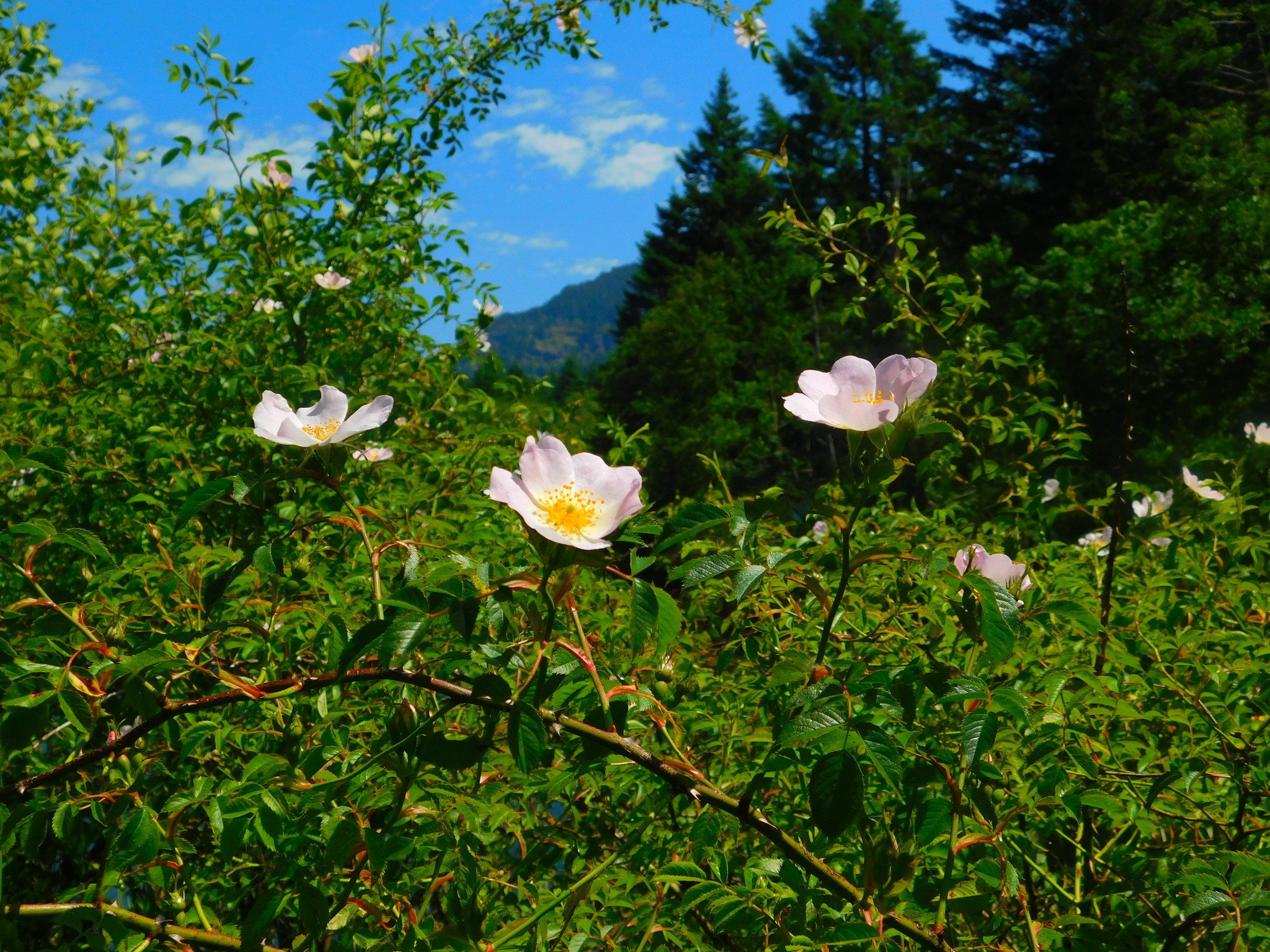 Rosa woodsii (Woods rose) 2.jpg