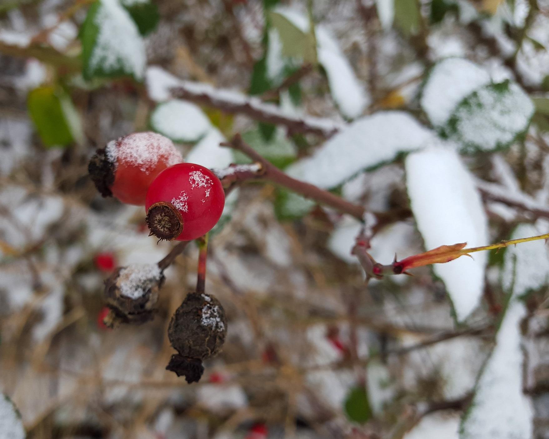 Rosa woodsii (Woods rose) 4.jpg