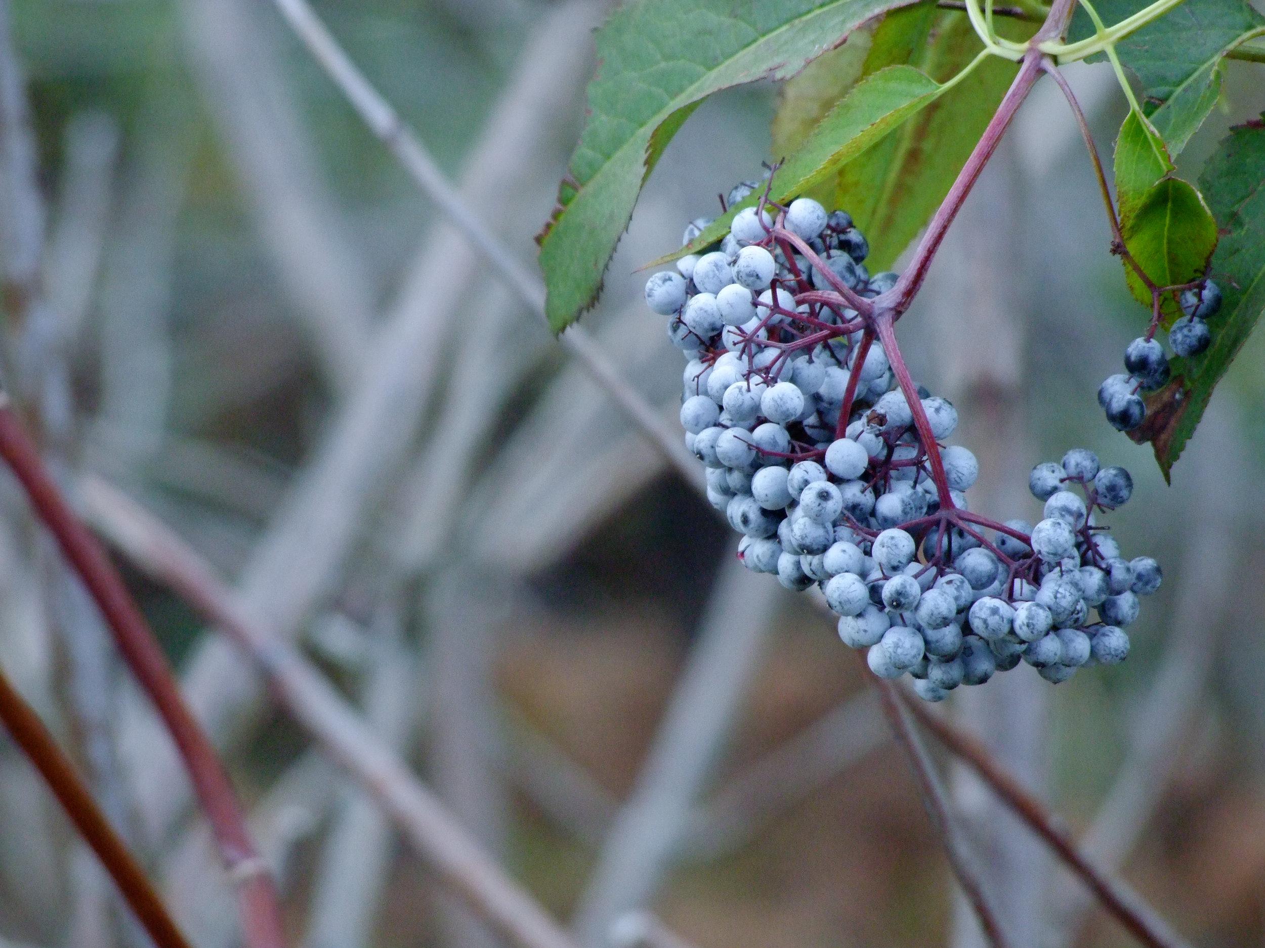 Sambucus niga ssp. cerulea (Blue elderberry) 2.jpg
