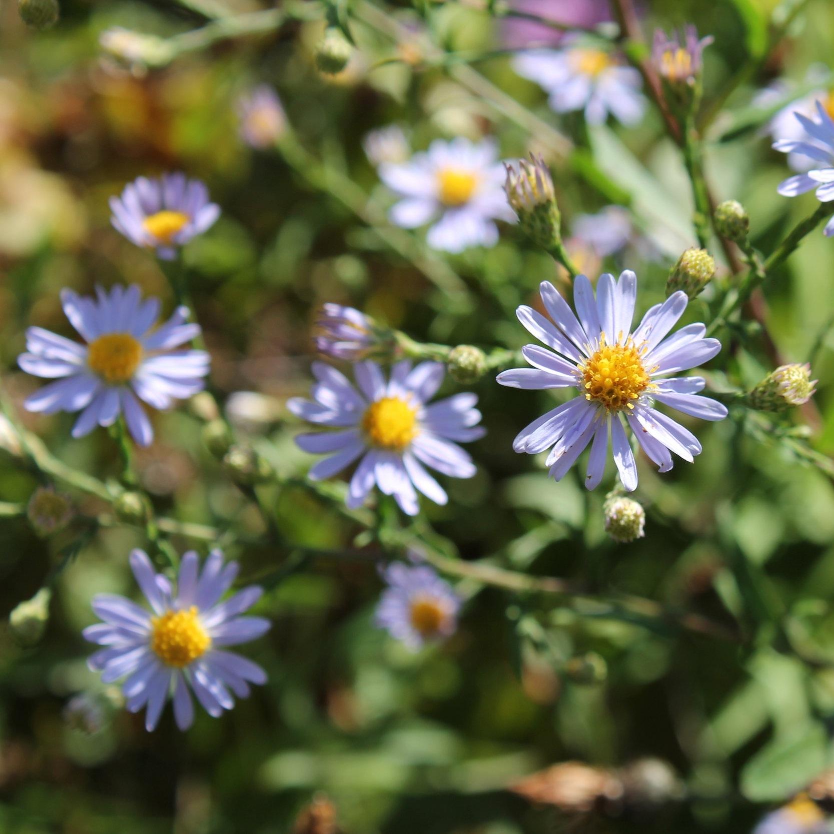 Symphyotrichum laeve (Smooth blue aster) 2.jpg