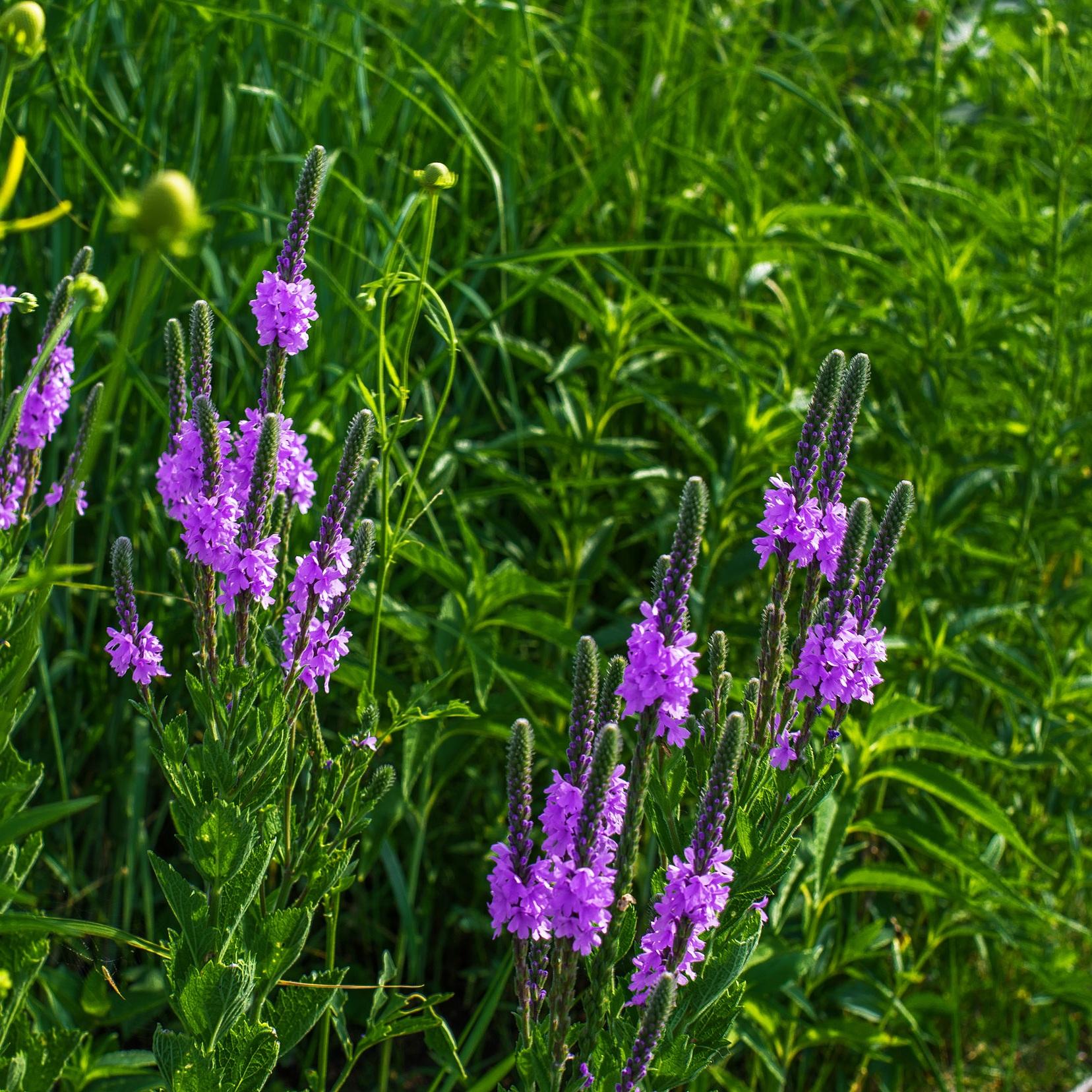 Verbena stricta (Purple verbena) 2.jpg